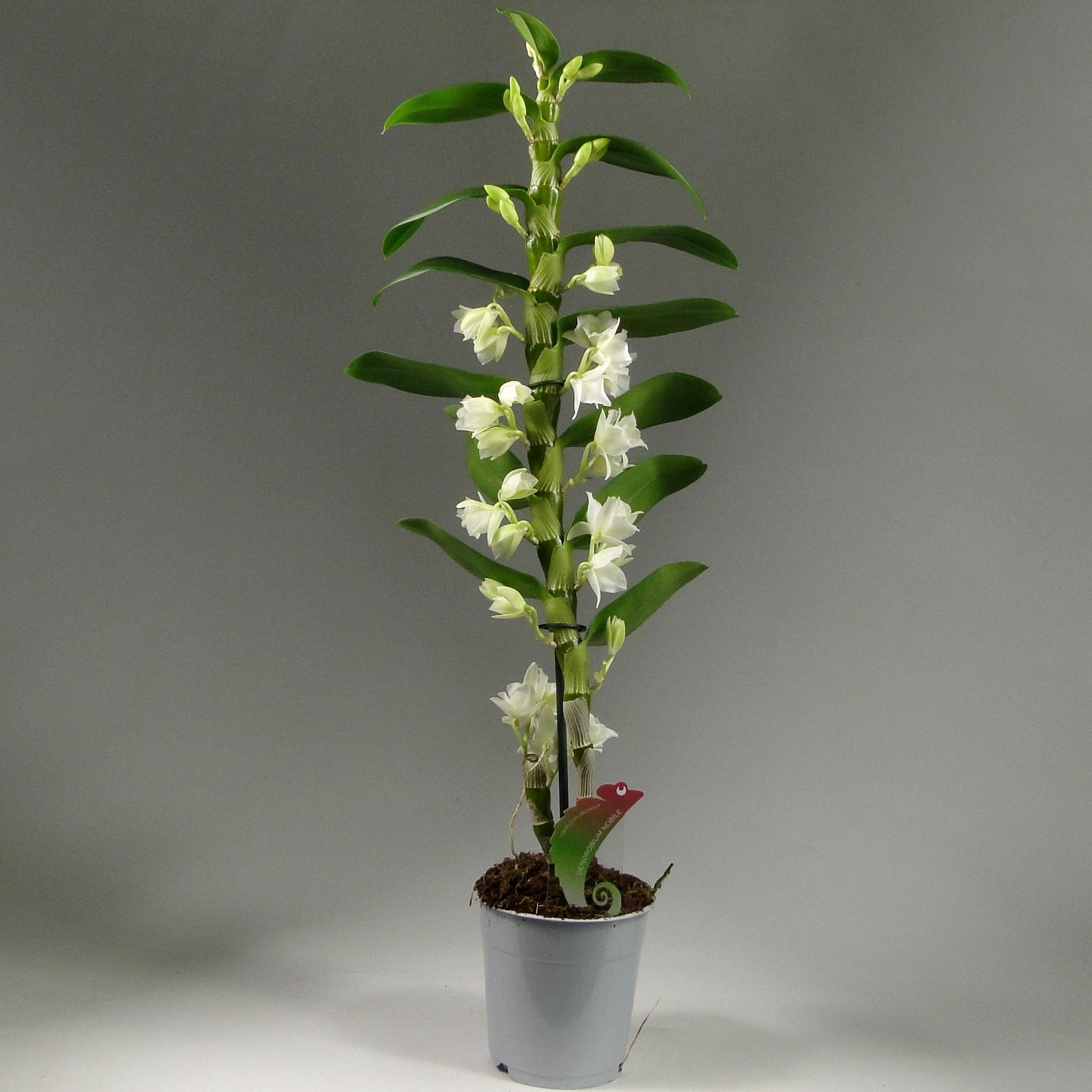Орхидея дендробиум нобиле белый 1ст
