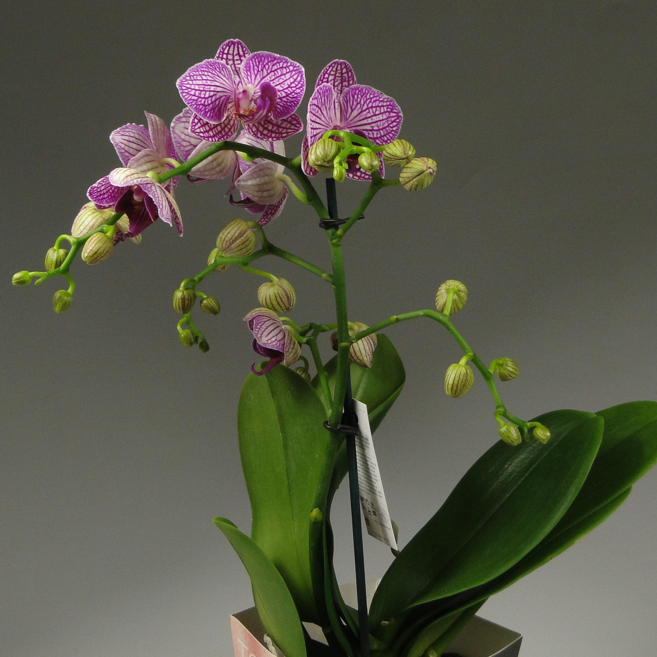 Орхидея фаленопсис Pink Balans Декорум