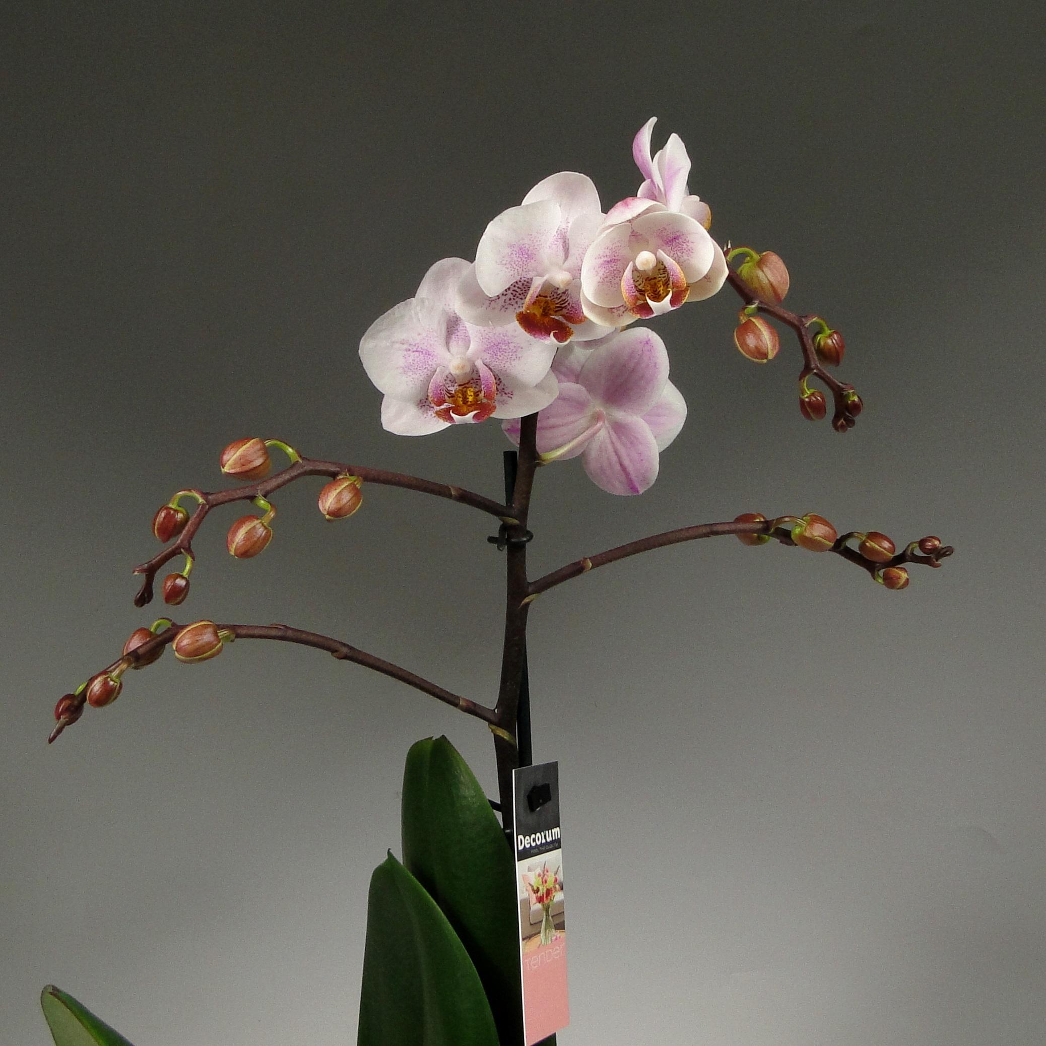 Орхидея фаленопсис Cotton Candy