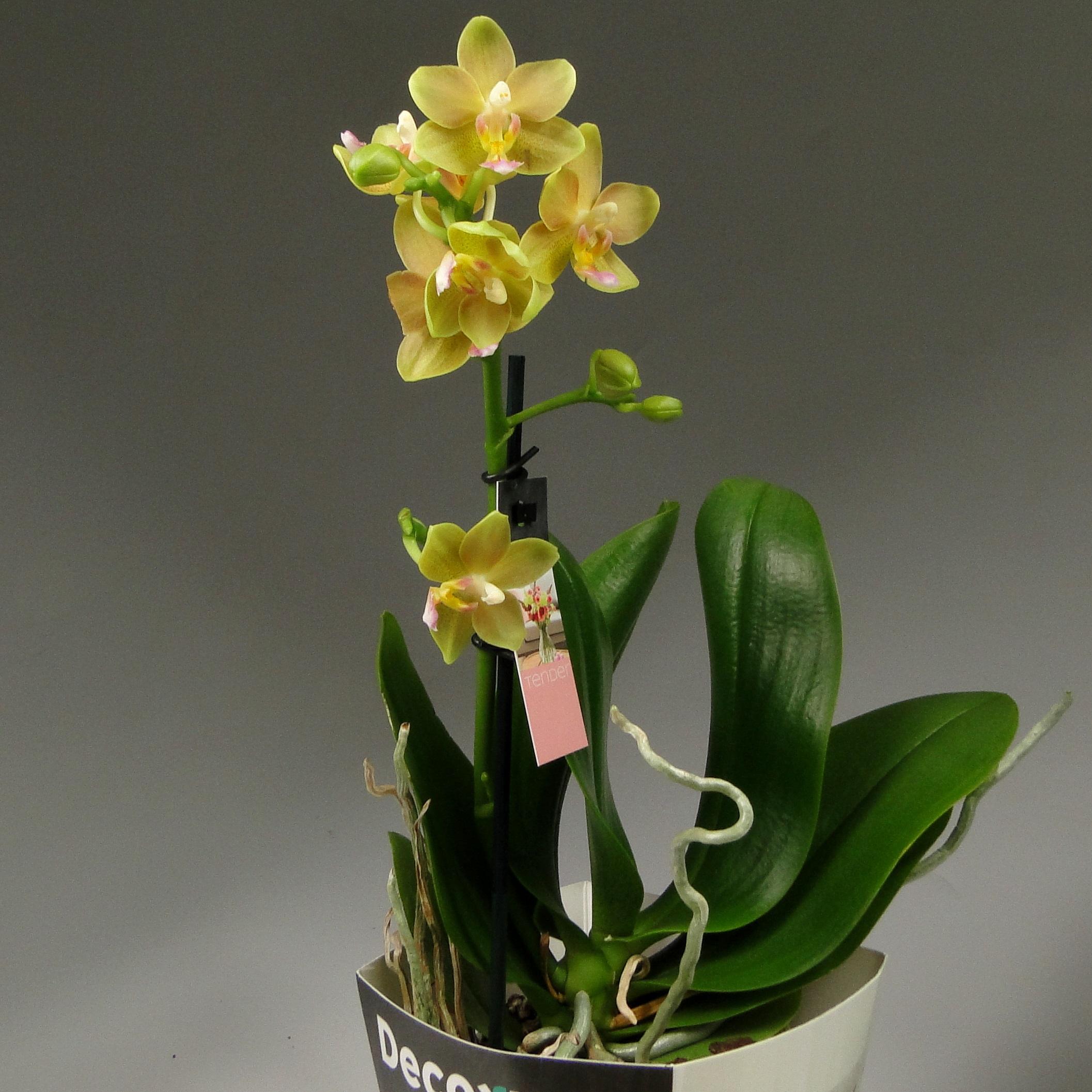 Орхидея фаленопсис Little Kolibri Декорум