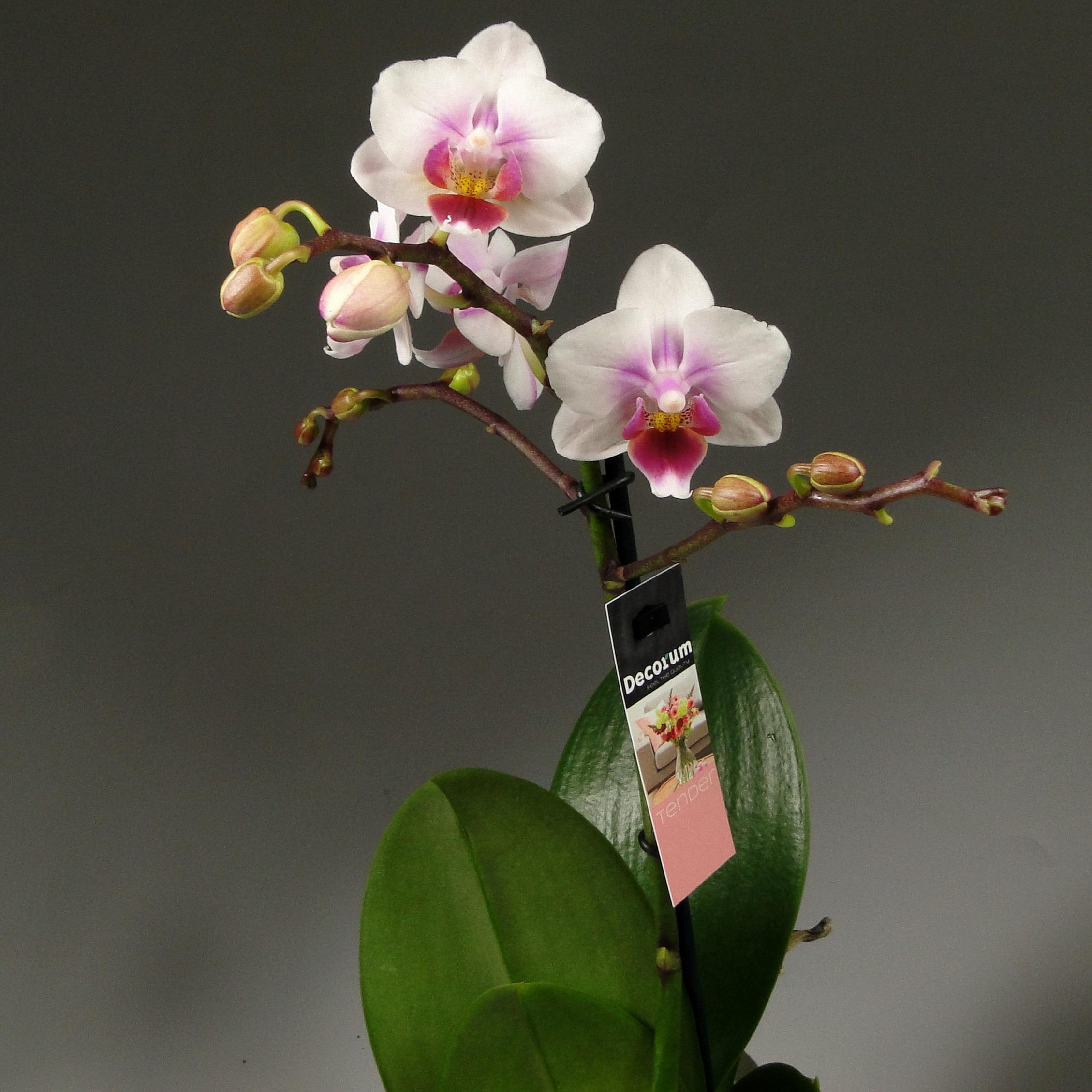 Орхидея фаленопсис Sogo Tris Декорум
