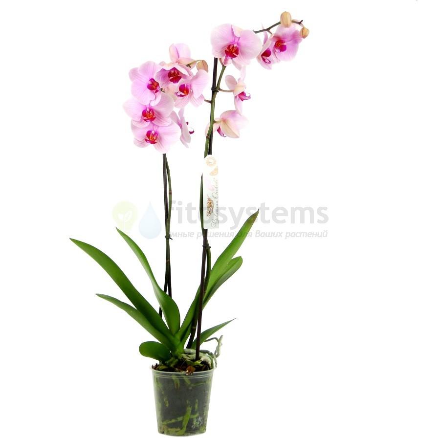 Орхидея фаленопсис Сирена 2 ст