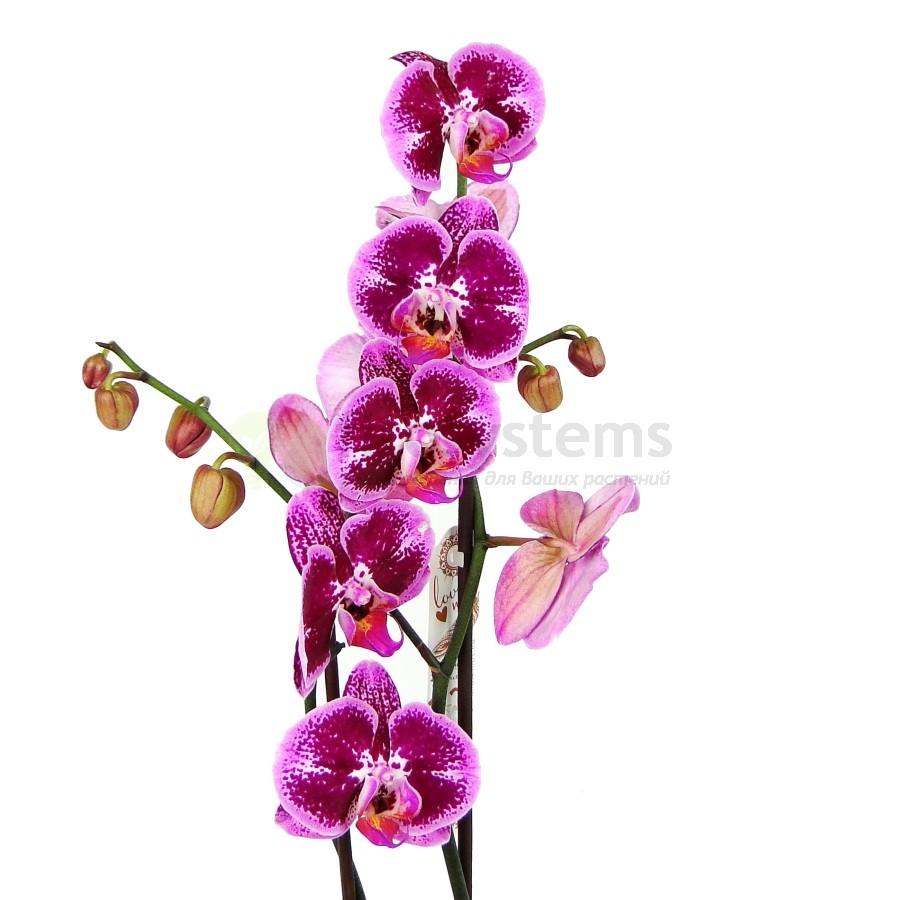 Орхидея Фаленопсис Пиано