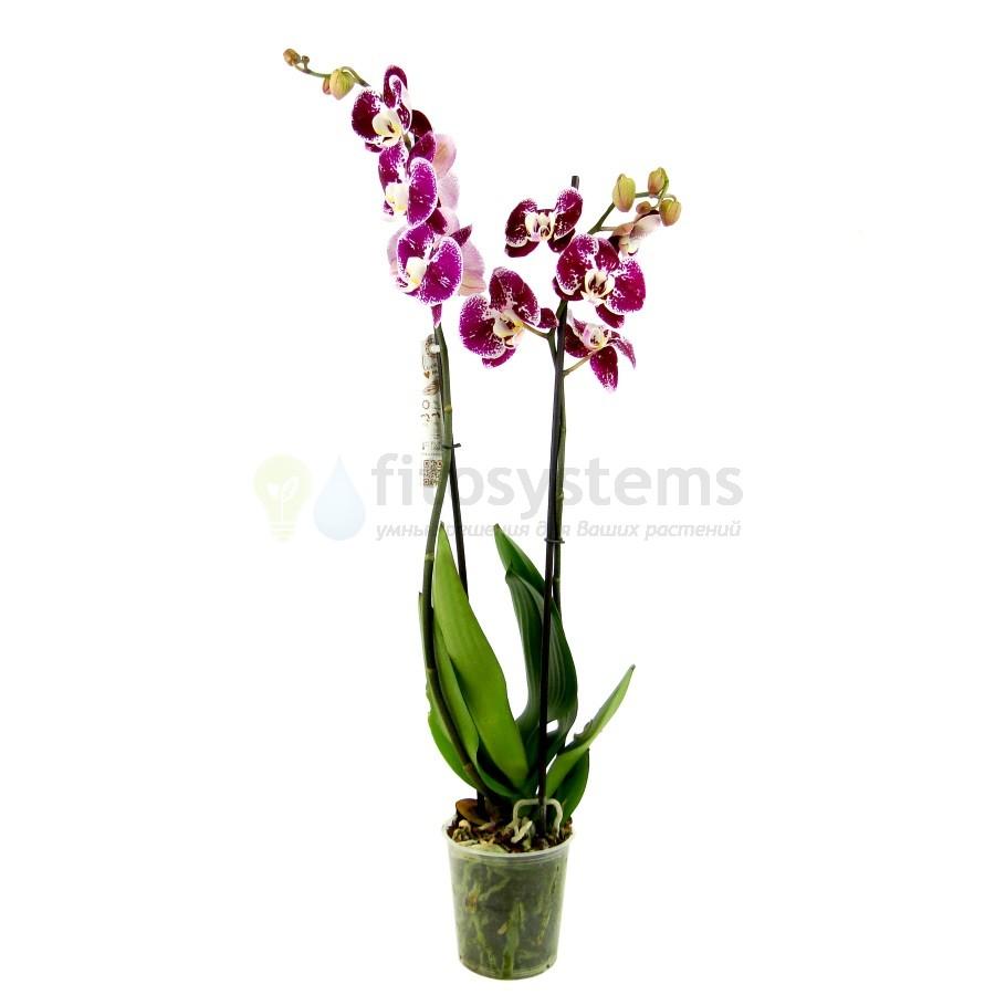 Орхидея фаленопсис фейри 2 ст.
