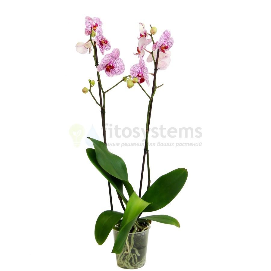 Орхидея фаленопсис Спиккель