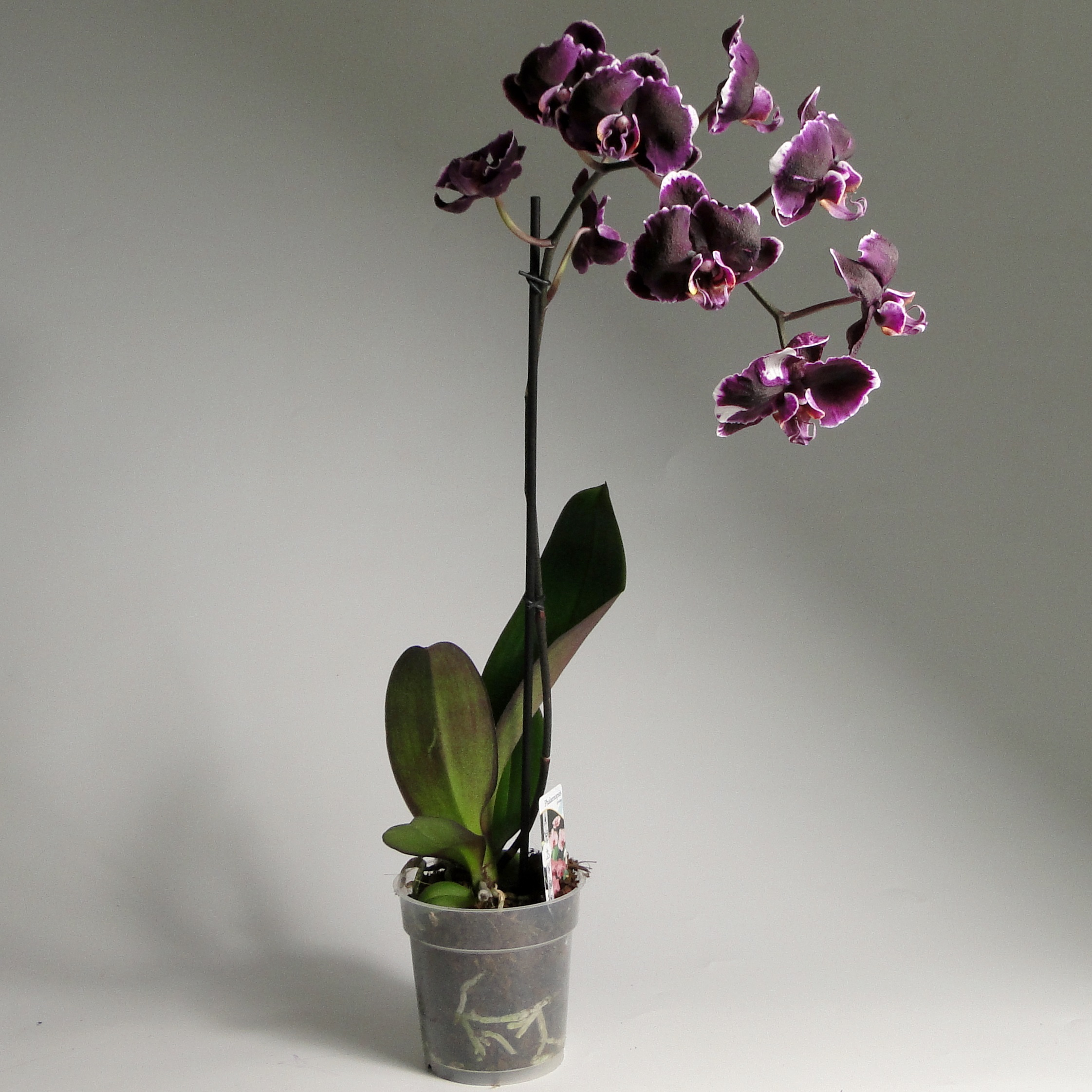 Чёрная орхидея фаленопсис Блэк Берд