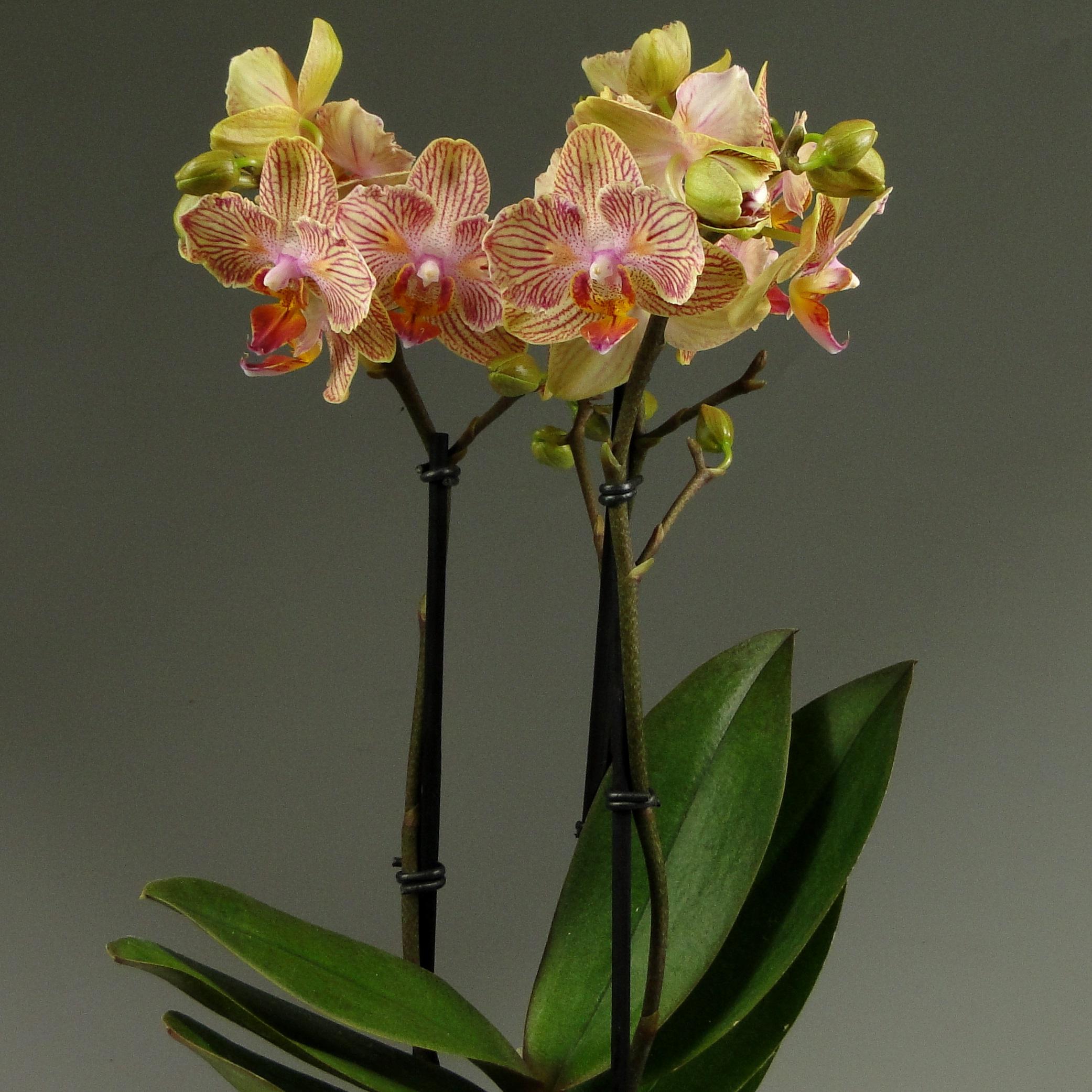 Орхидея фаленопсис Калейдоскоп Декорум