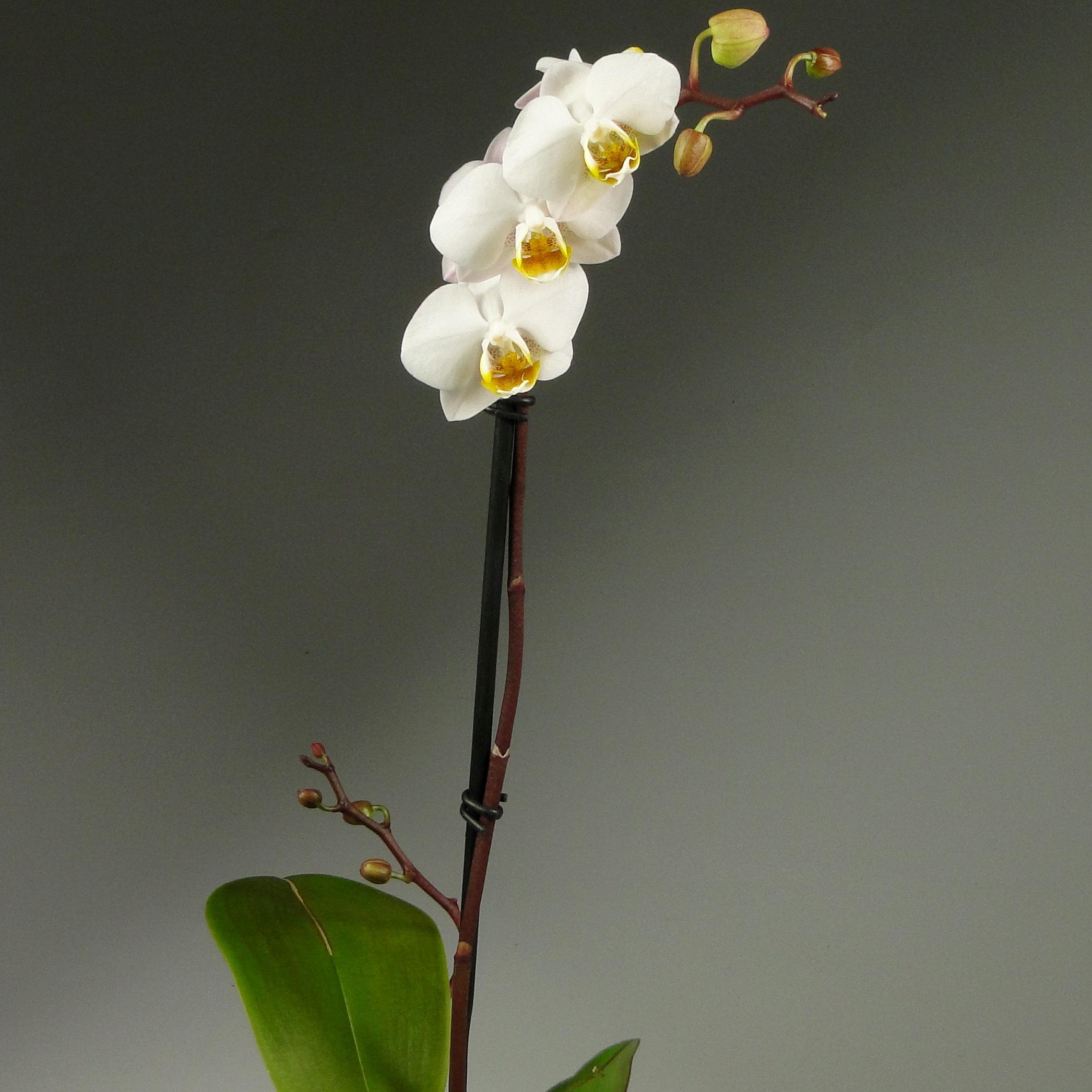 Орхидея фаленопсис Apple Blossom Декорум
