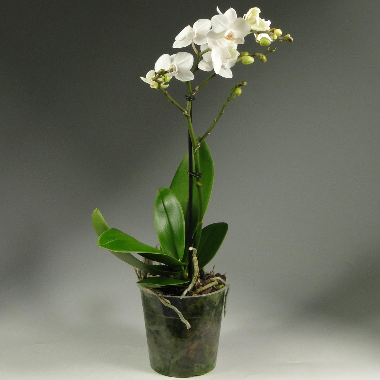 Орхидея фаленопсис белая Декорум 1 ст