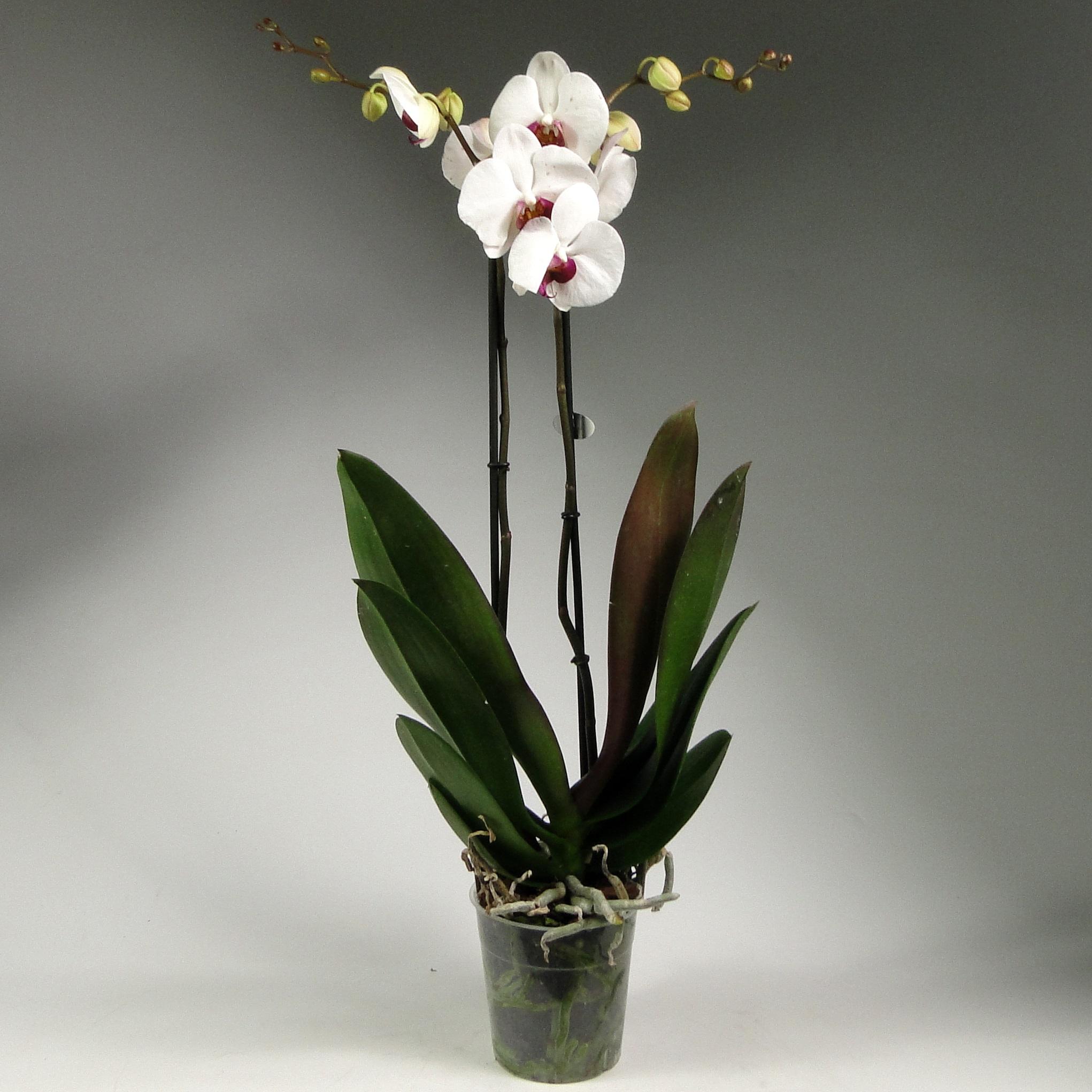 Орхидея фаленопсис Галифакс 2 ст