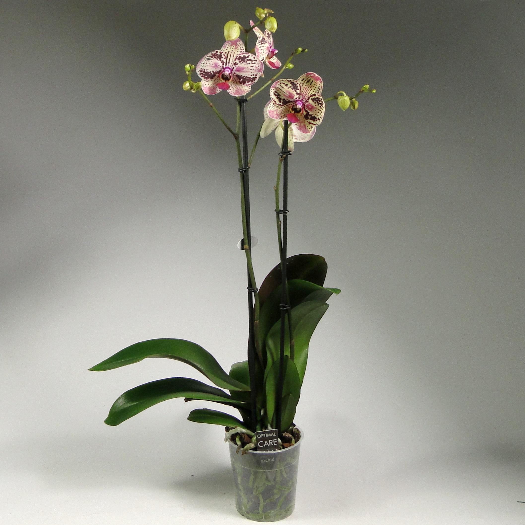 Орхидея фаленопсис Cleopatra 2 ст