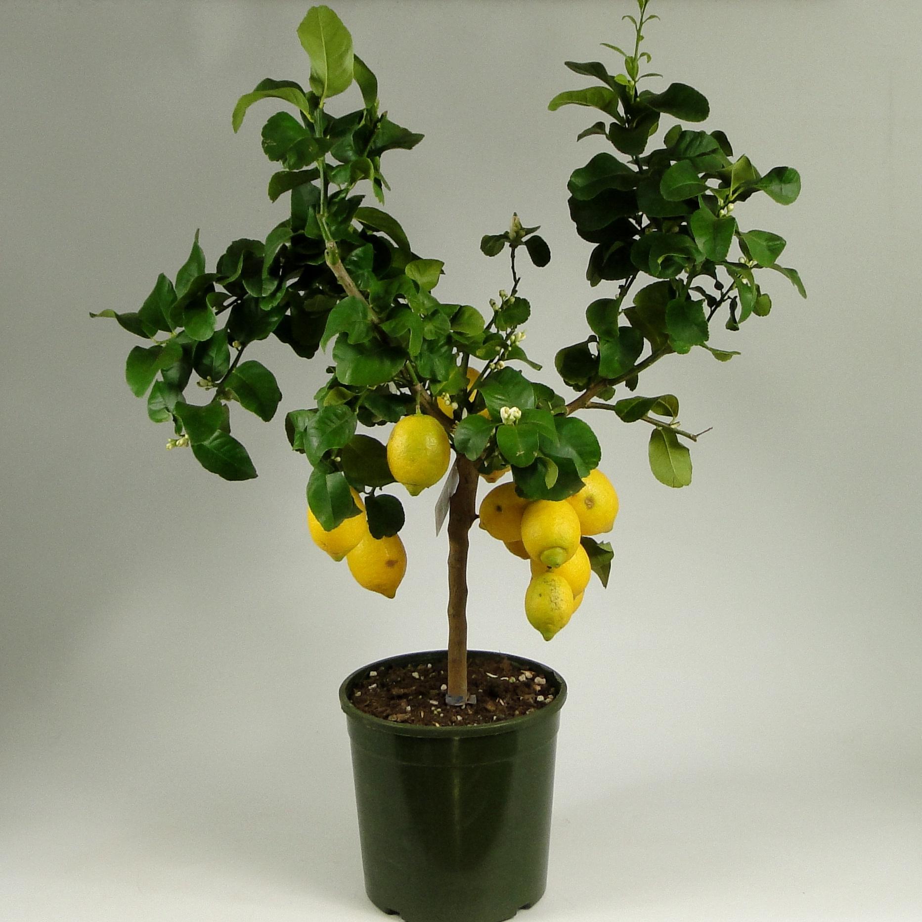Лимон штамбовый с плодами 100/25