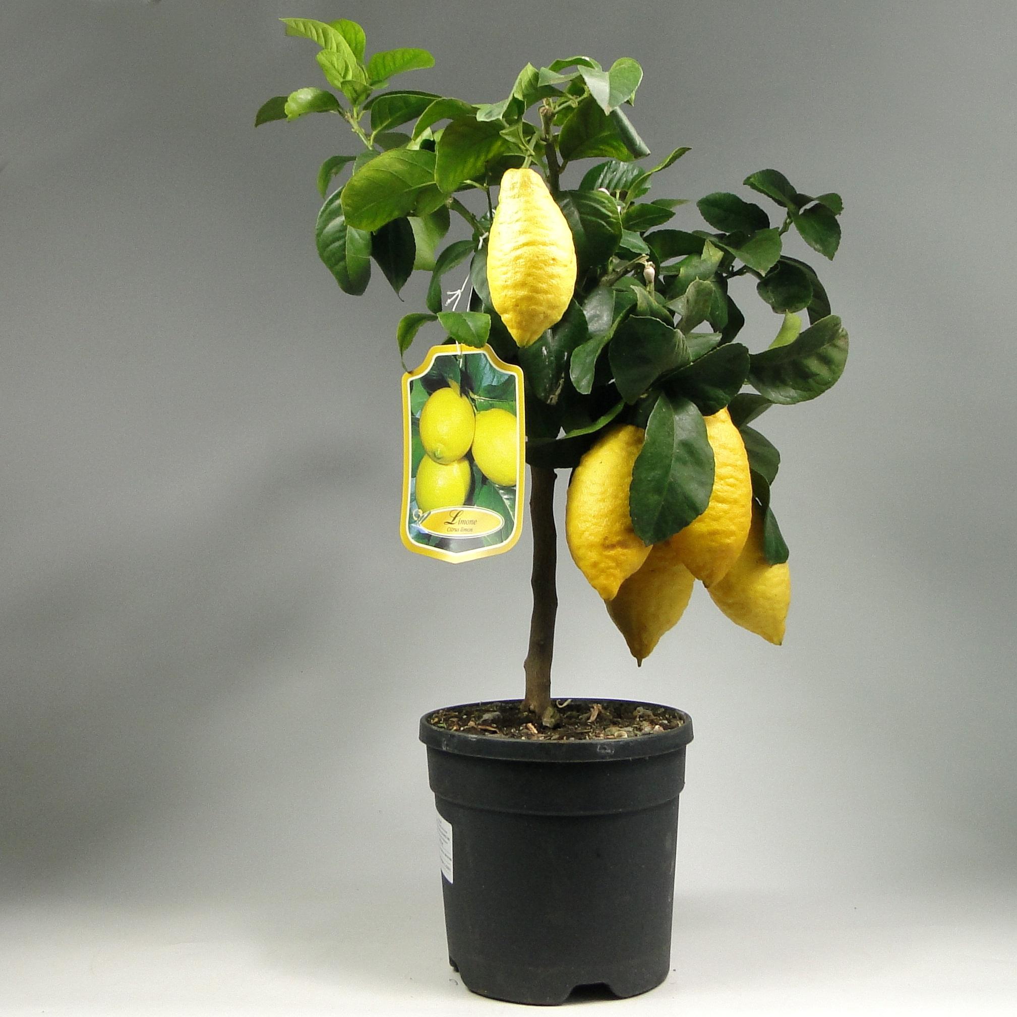 Лимон с желтыми плодами 70/21