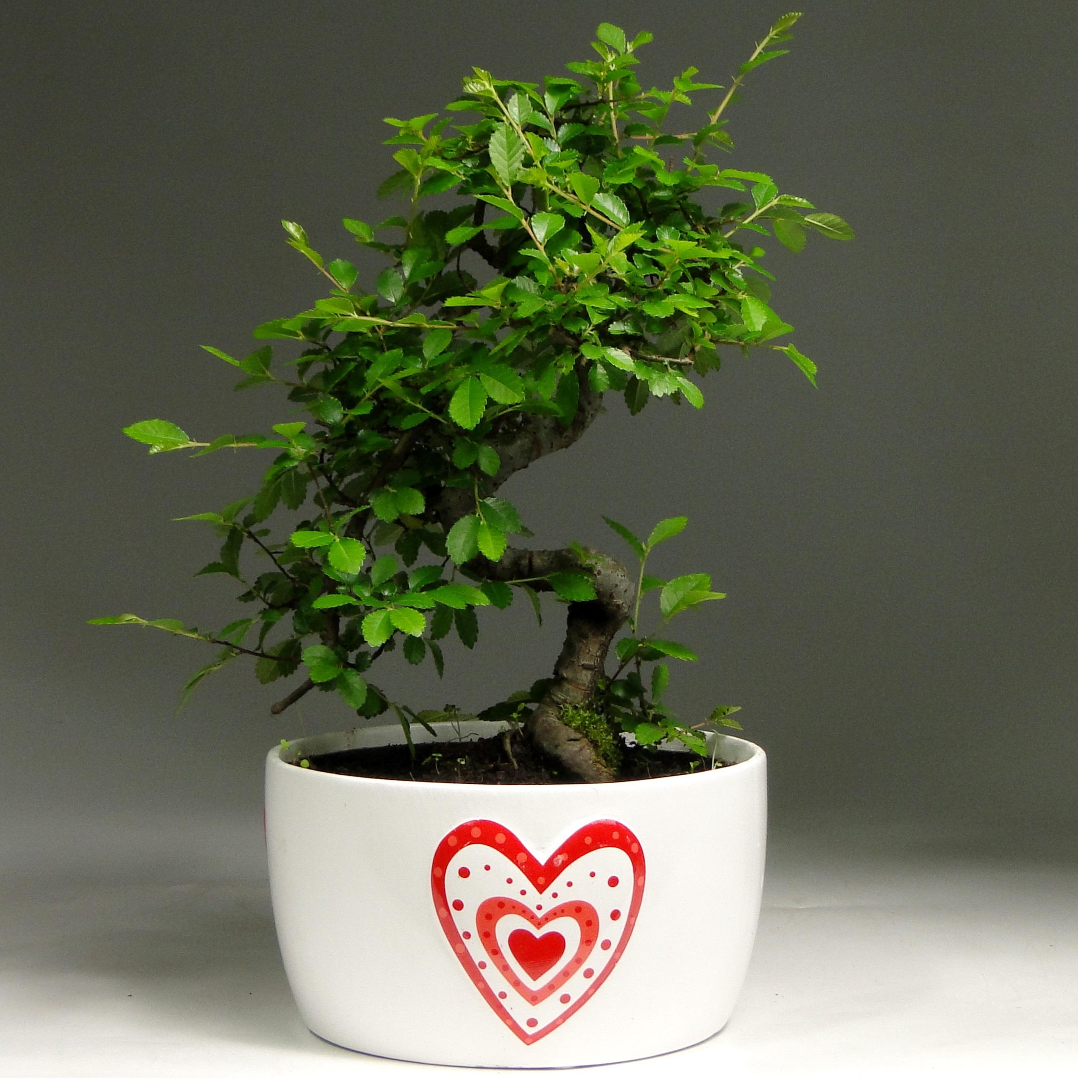 Бонсай вяз в Heart керамике 30 см