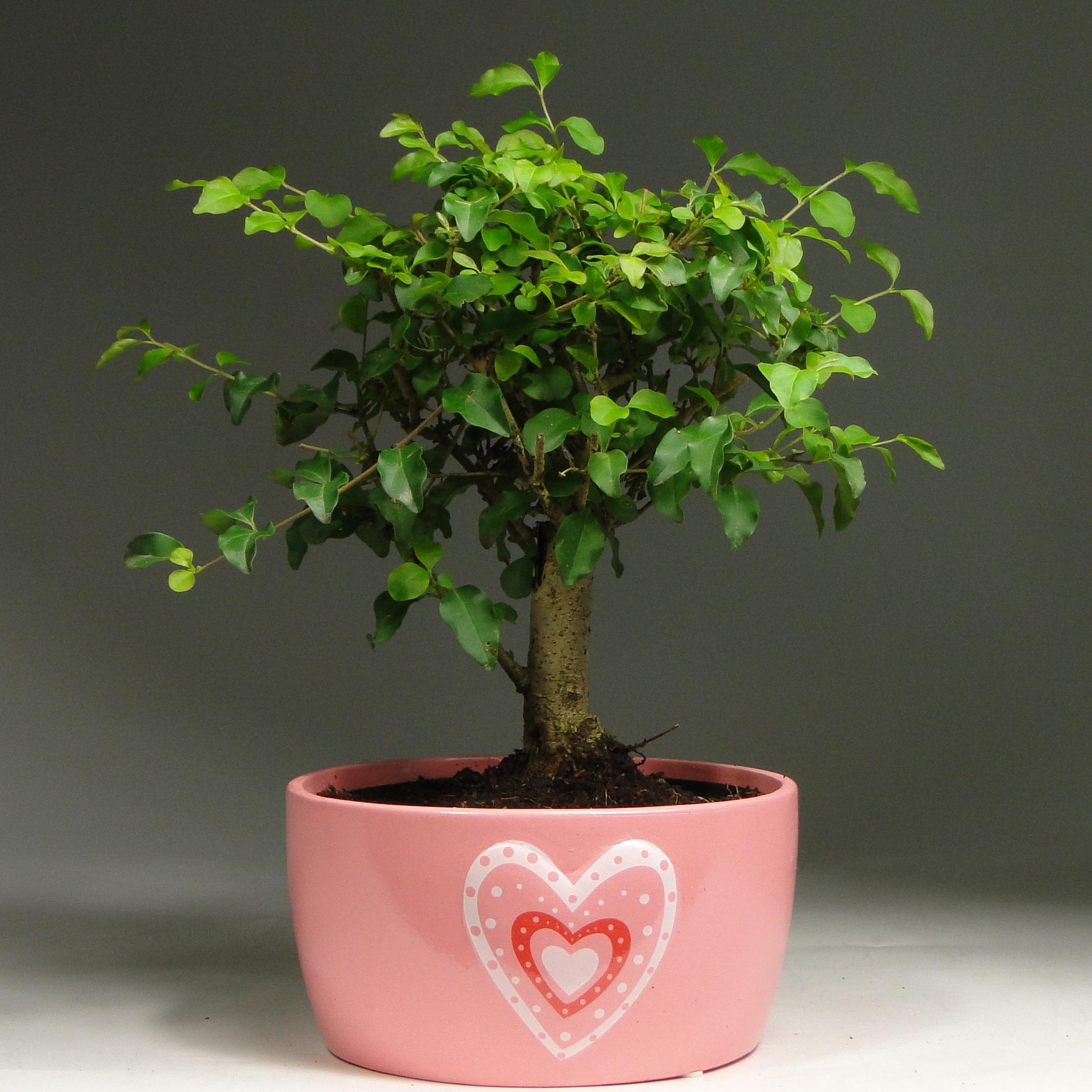 Бонсай лигуструм в Heart керамике 30 см