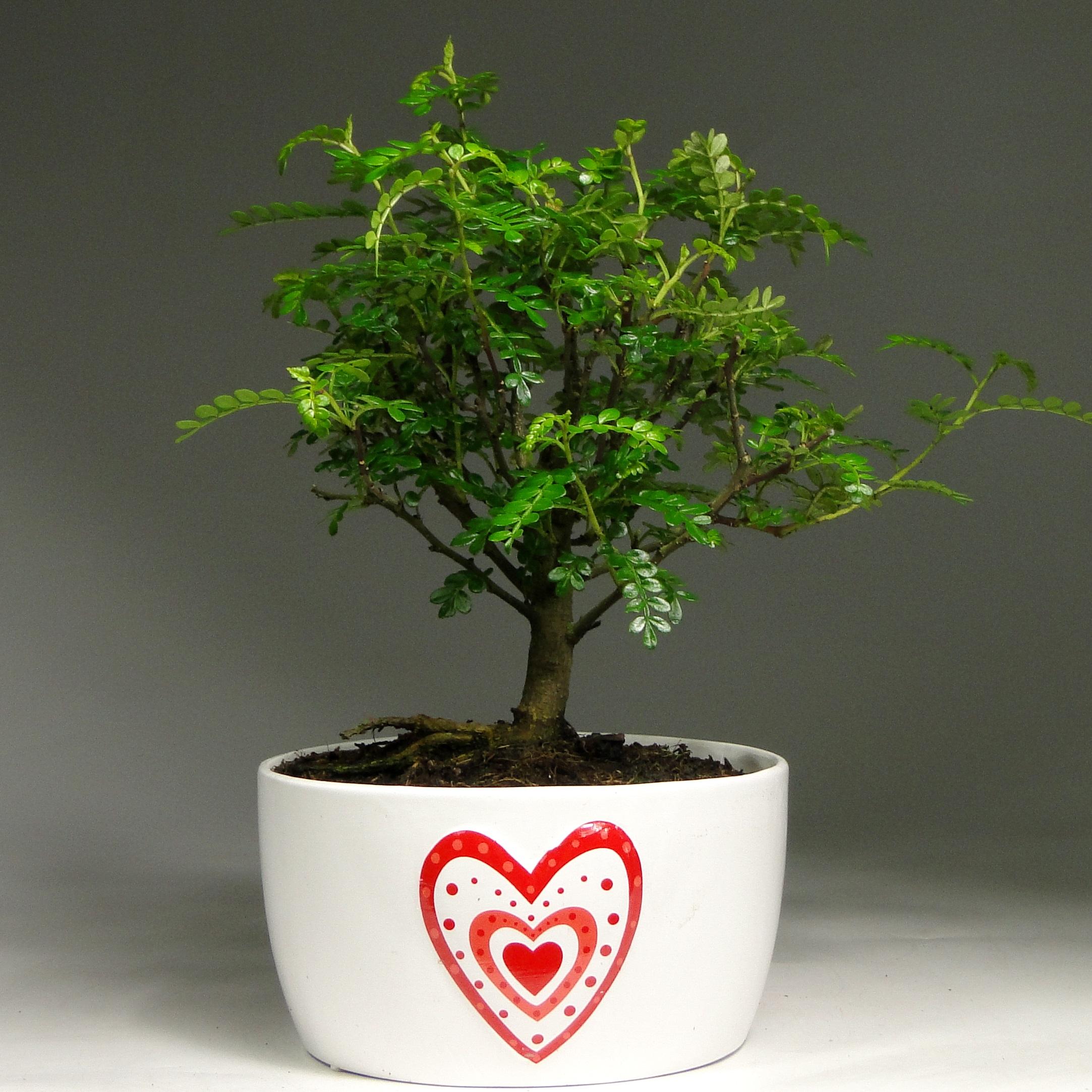 Бонсай зантоксилум в Heart керамике 30 см