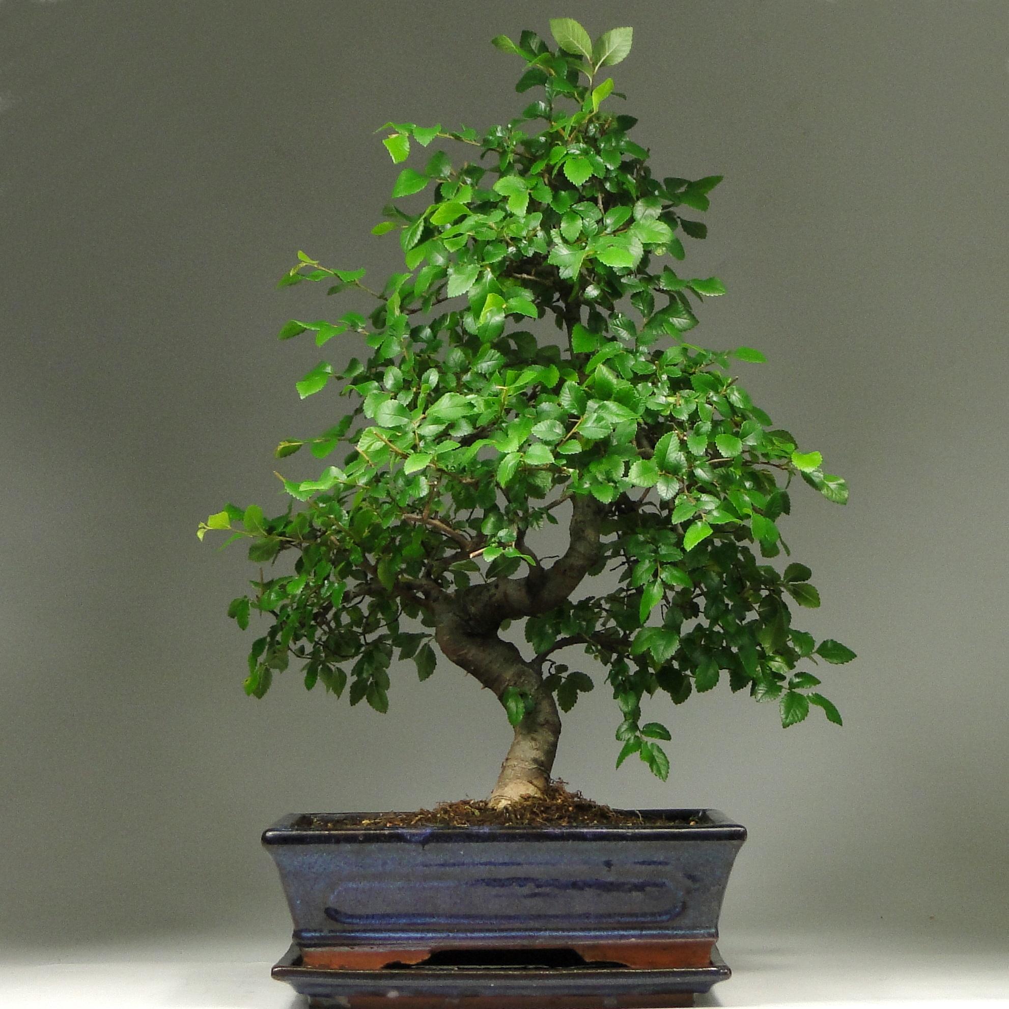 Бонсай вяз «Благодать» 53 см