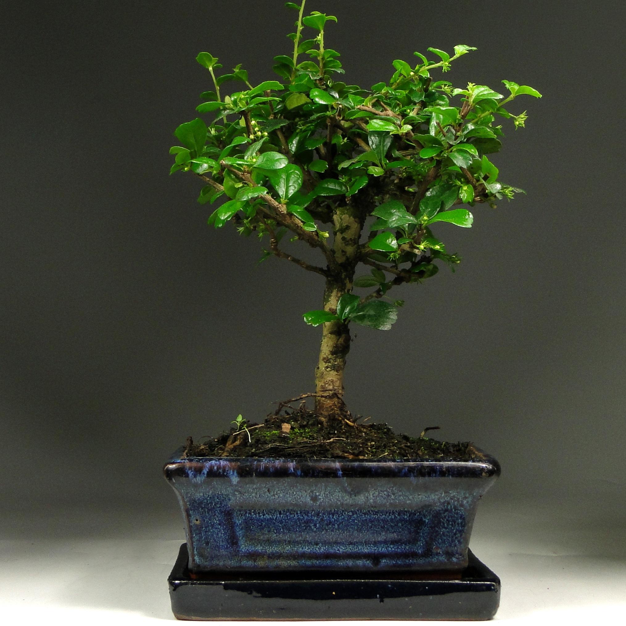 Бонсай мини Кармона «Чайный дом» 27 см