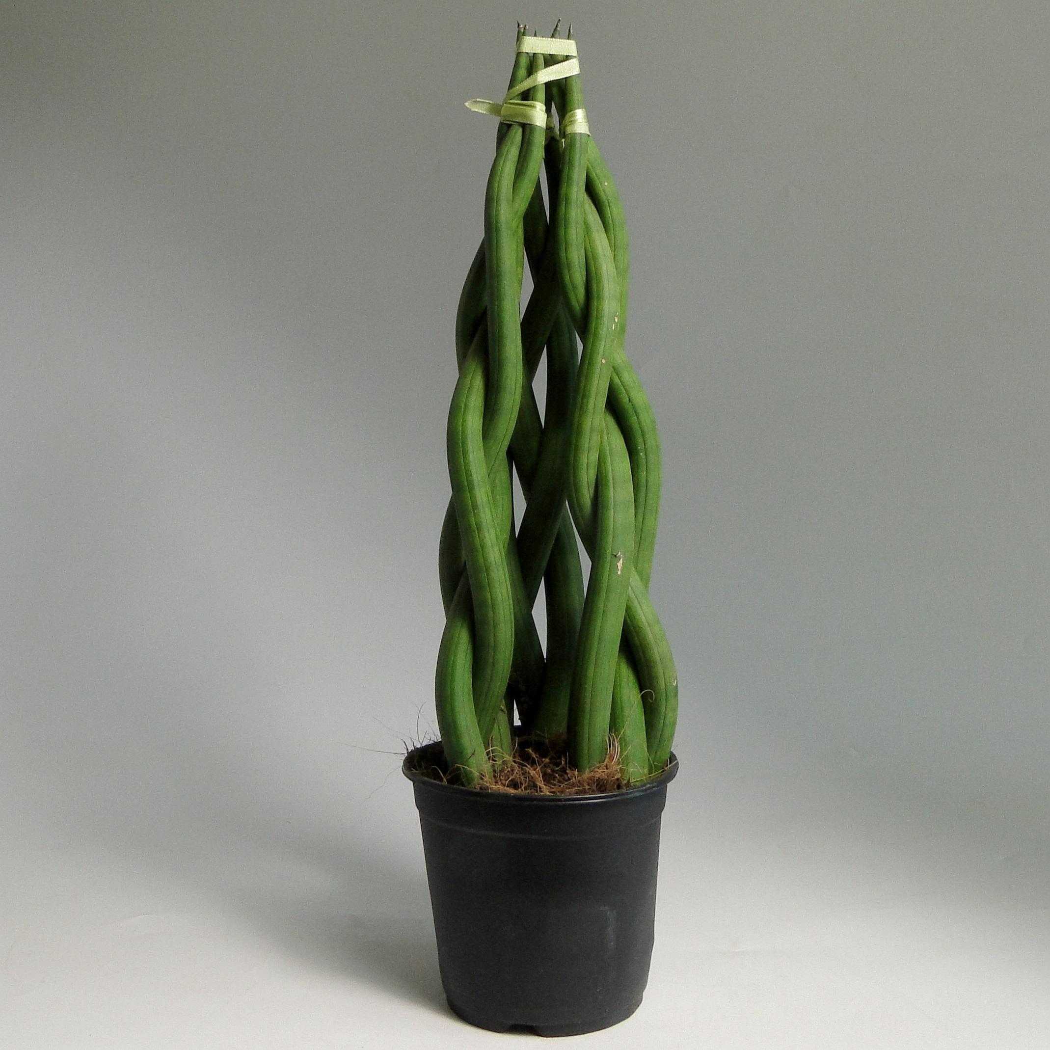 Сансевиерия цилиндрика коса 50/14