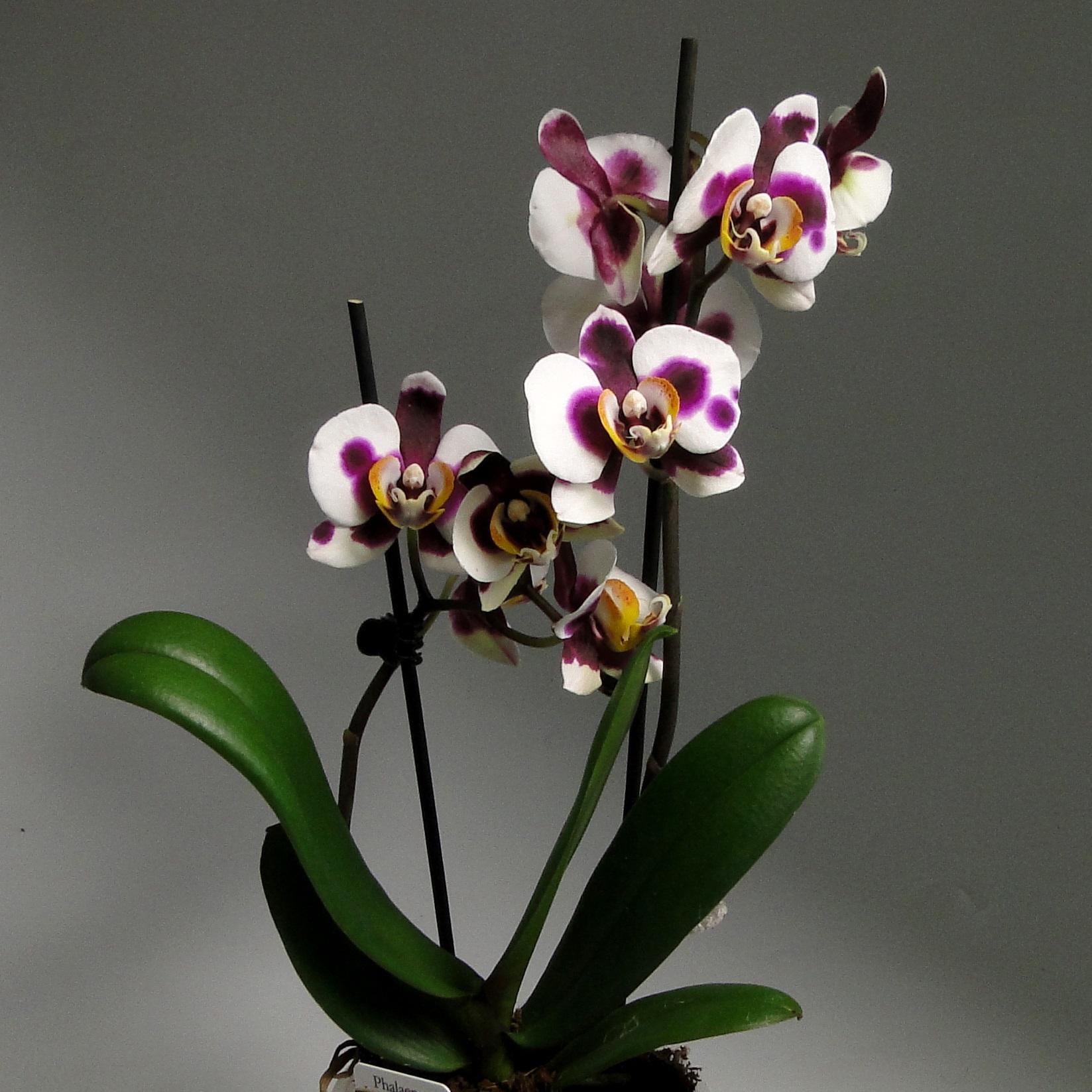 Орхидея фаленопсис Bingo 2 ст