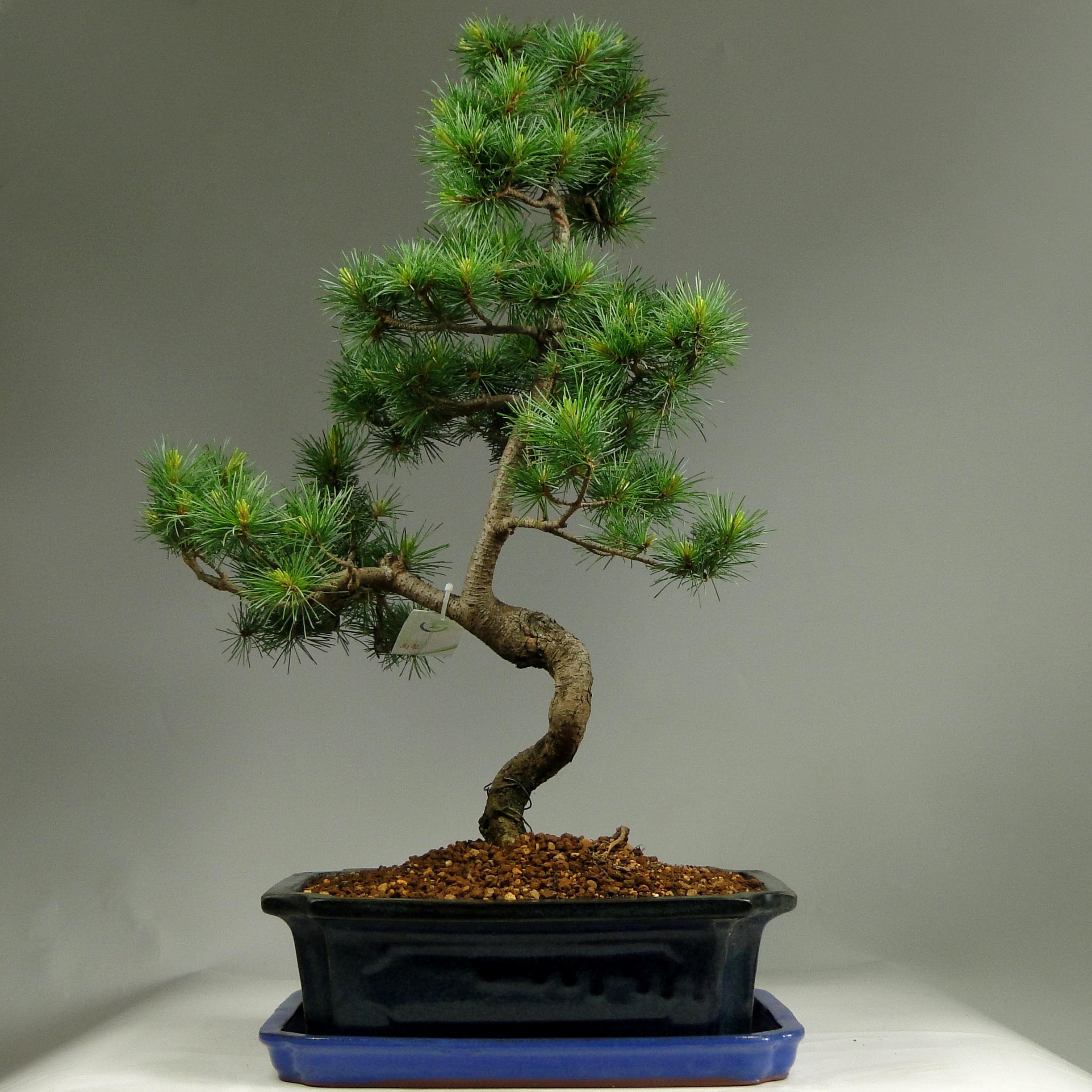 Бонсай сосна «Спящий дракон» 65 см