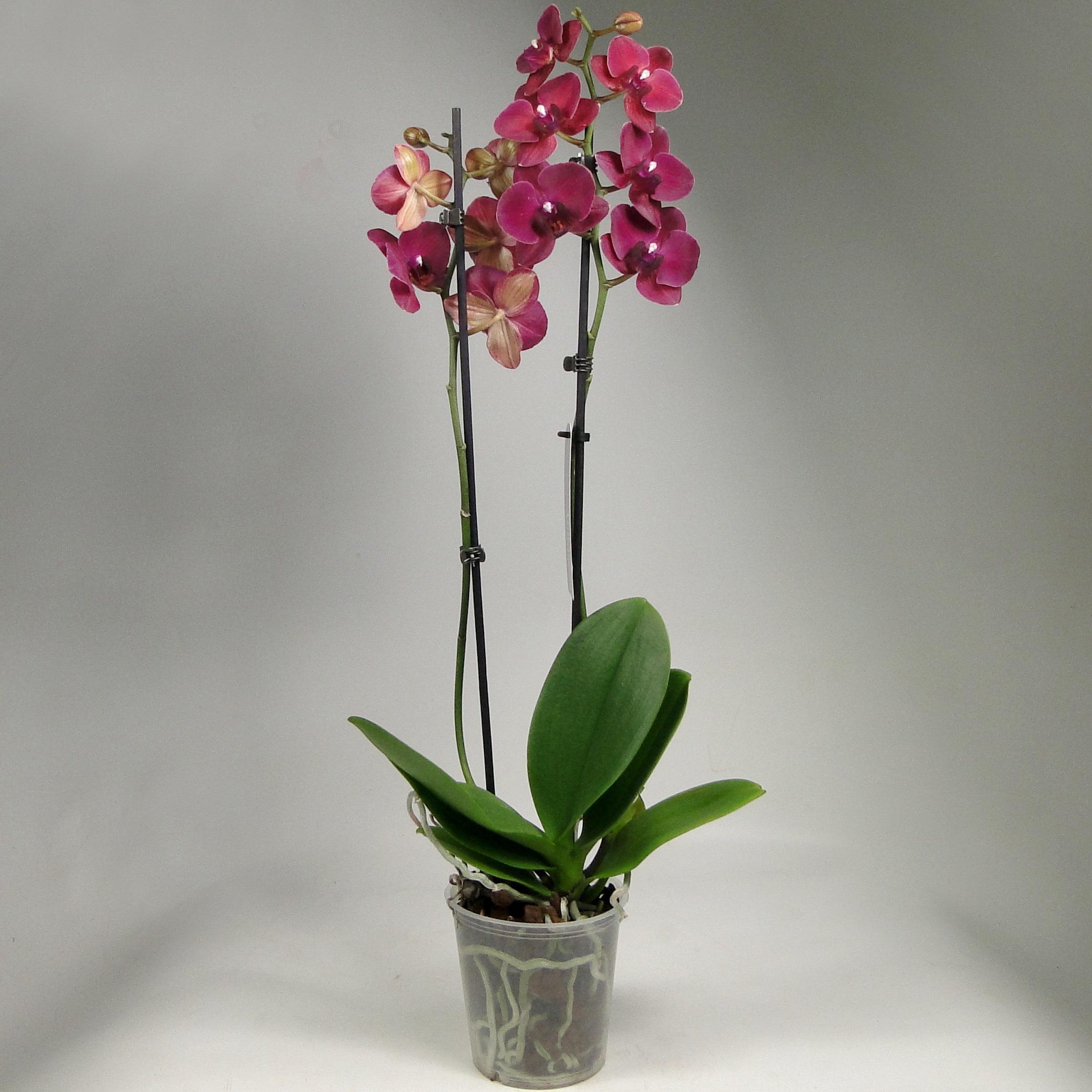 Орхидея фаленопсис Руби Уess
