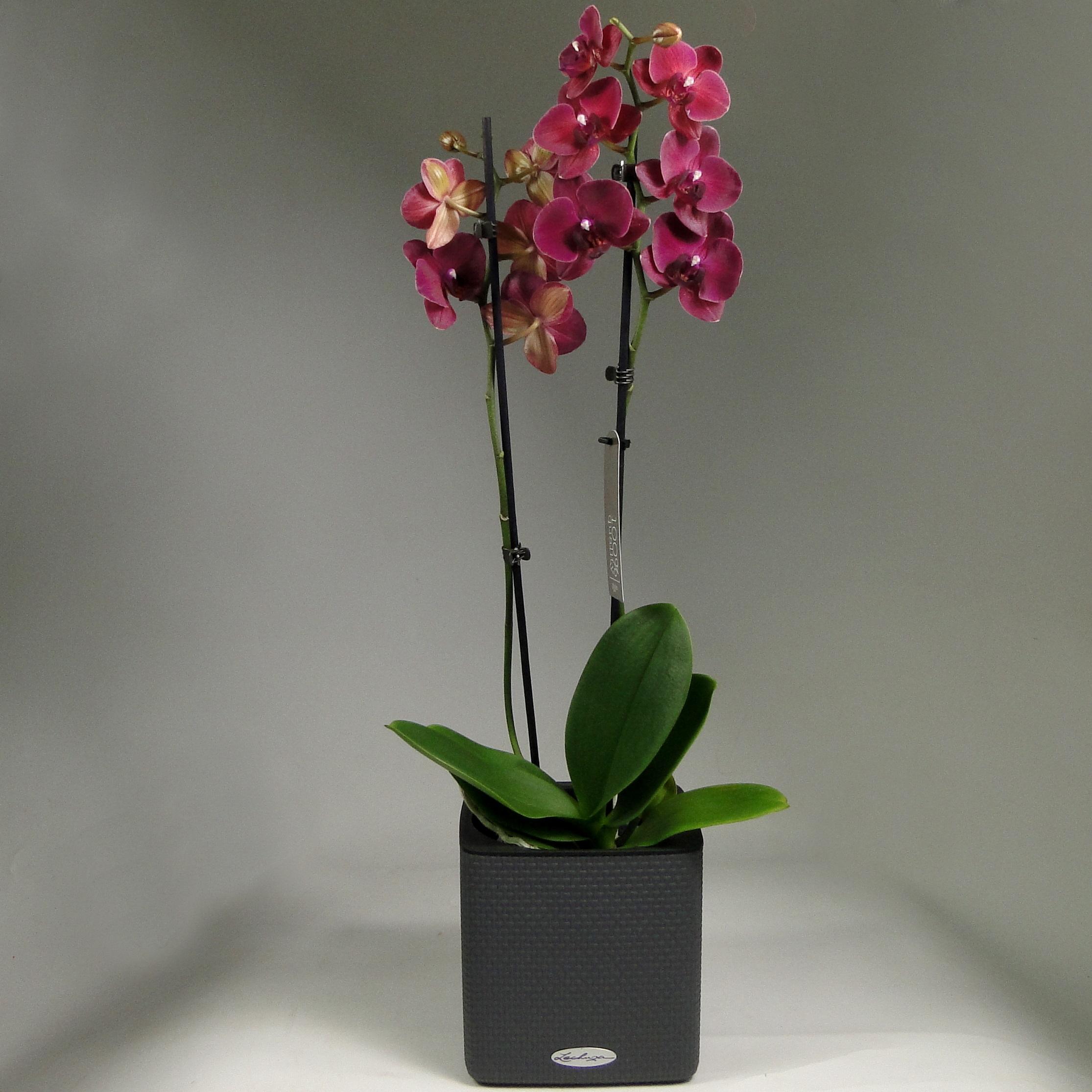 Орхидея фаленопсис Руби в Lechuza Cube 16