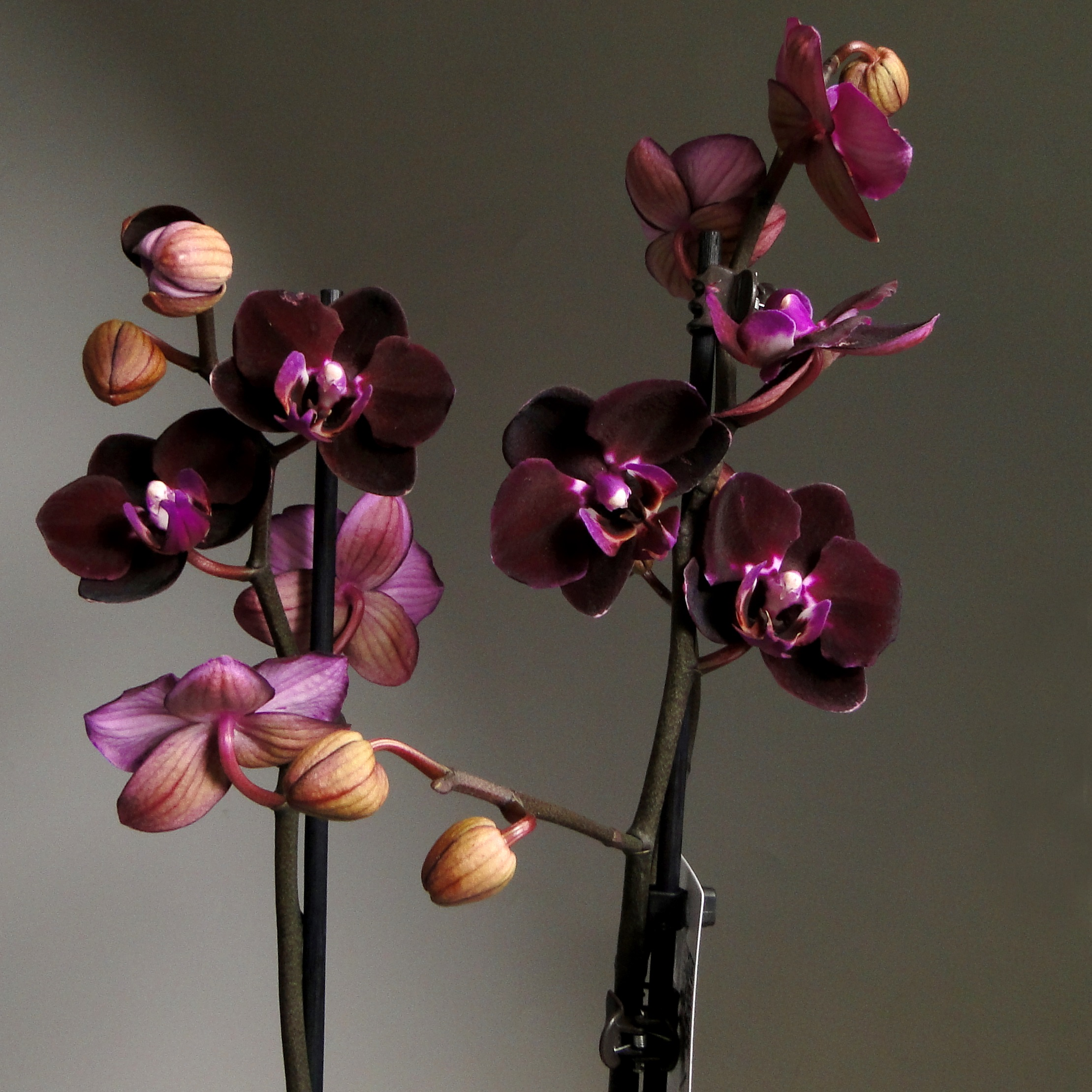 Орхидея Фаленопсис Хеппи Энджел 2 ст