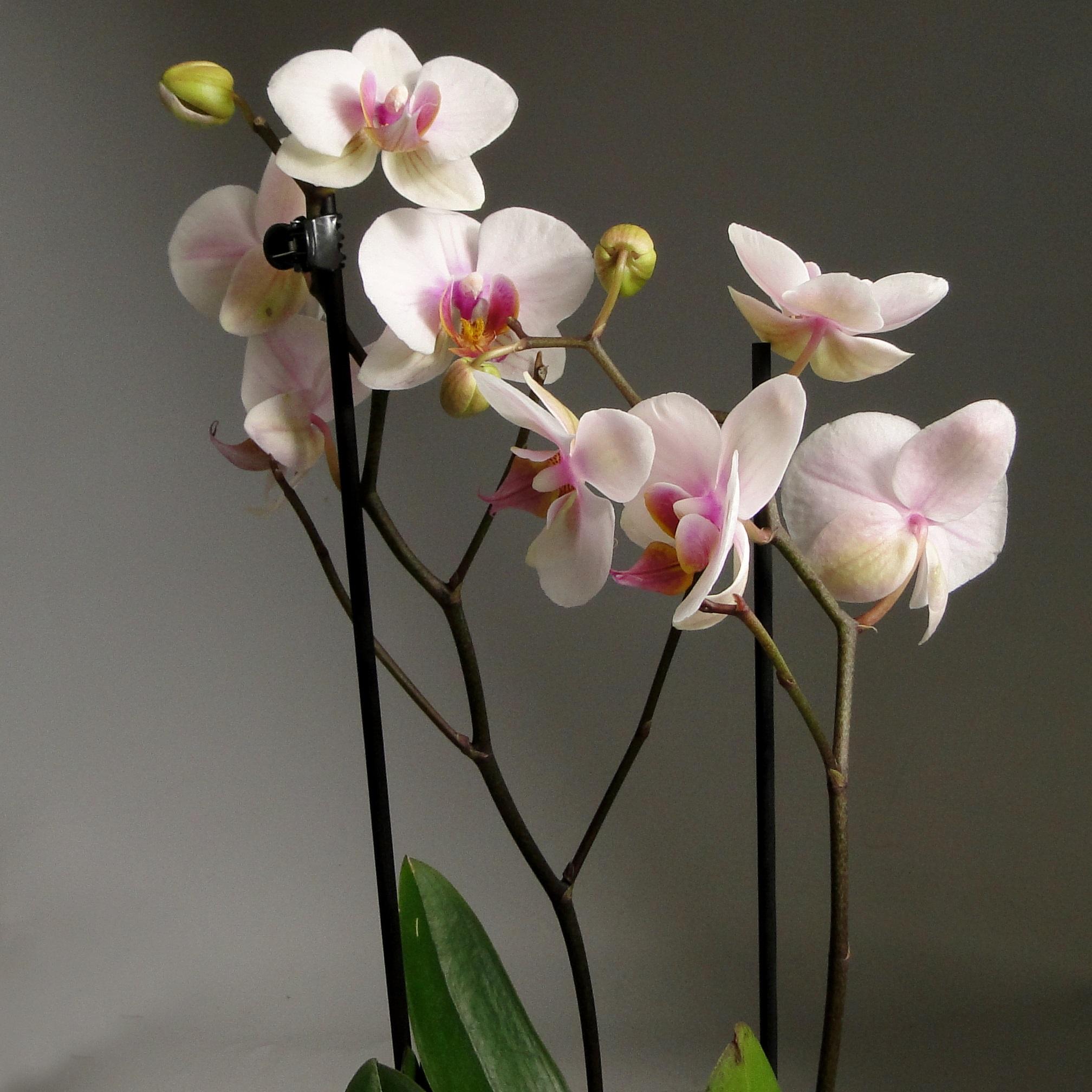 Орхидея фаленопсис Роуз 2 ст