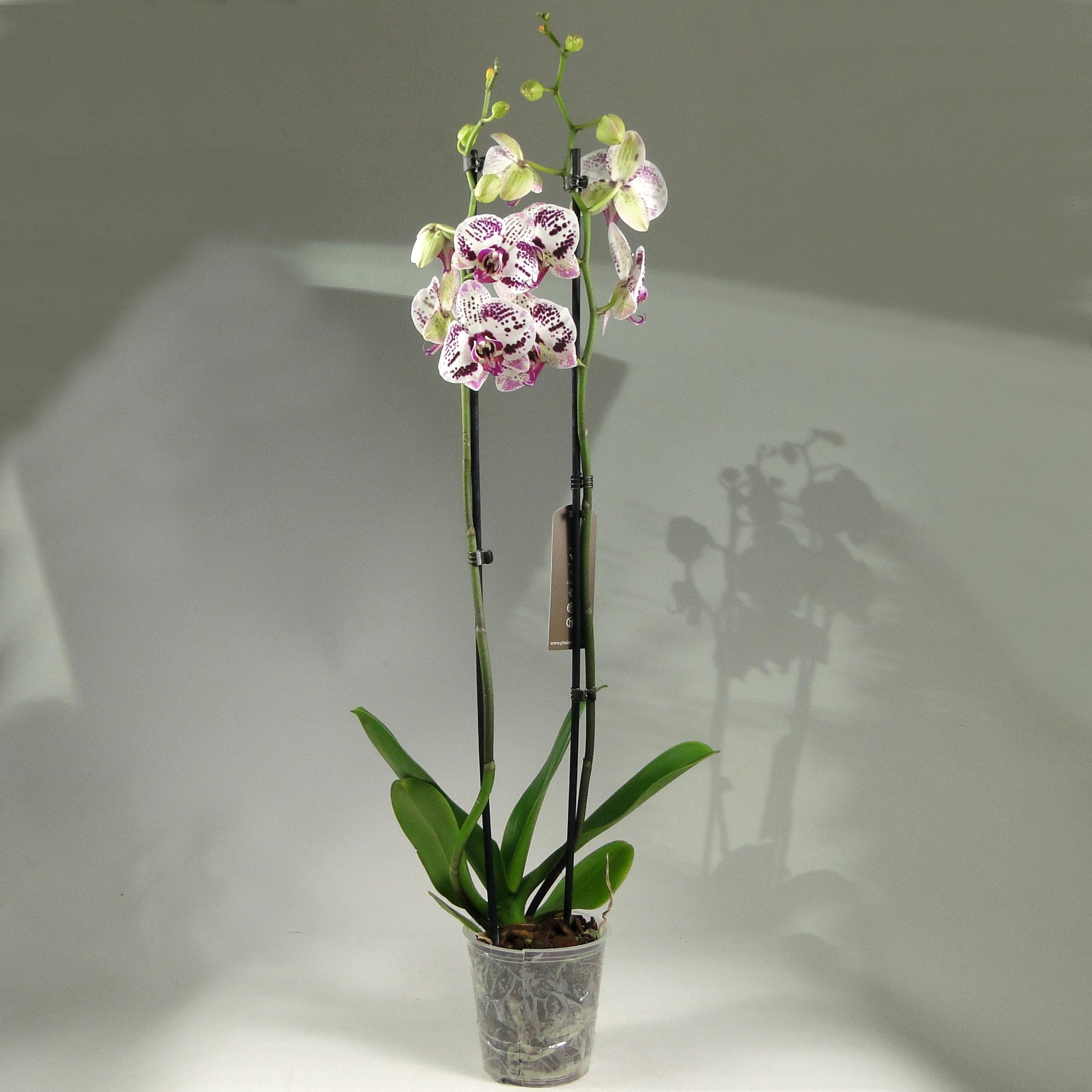 Орхидея фаленопсис Angel Voice 2 ст
