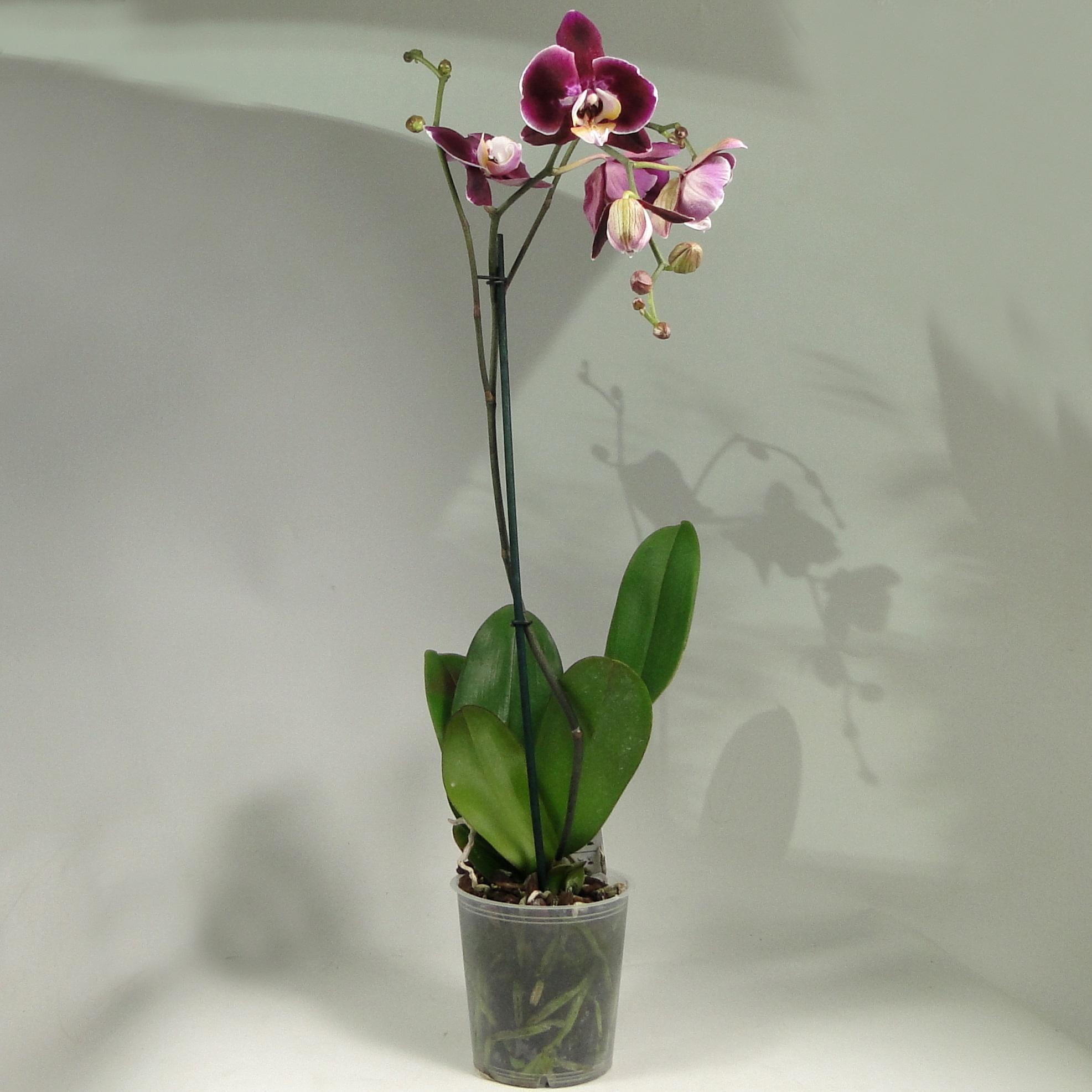 Орхидея фаленопсис каскад фиолетовая