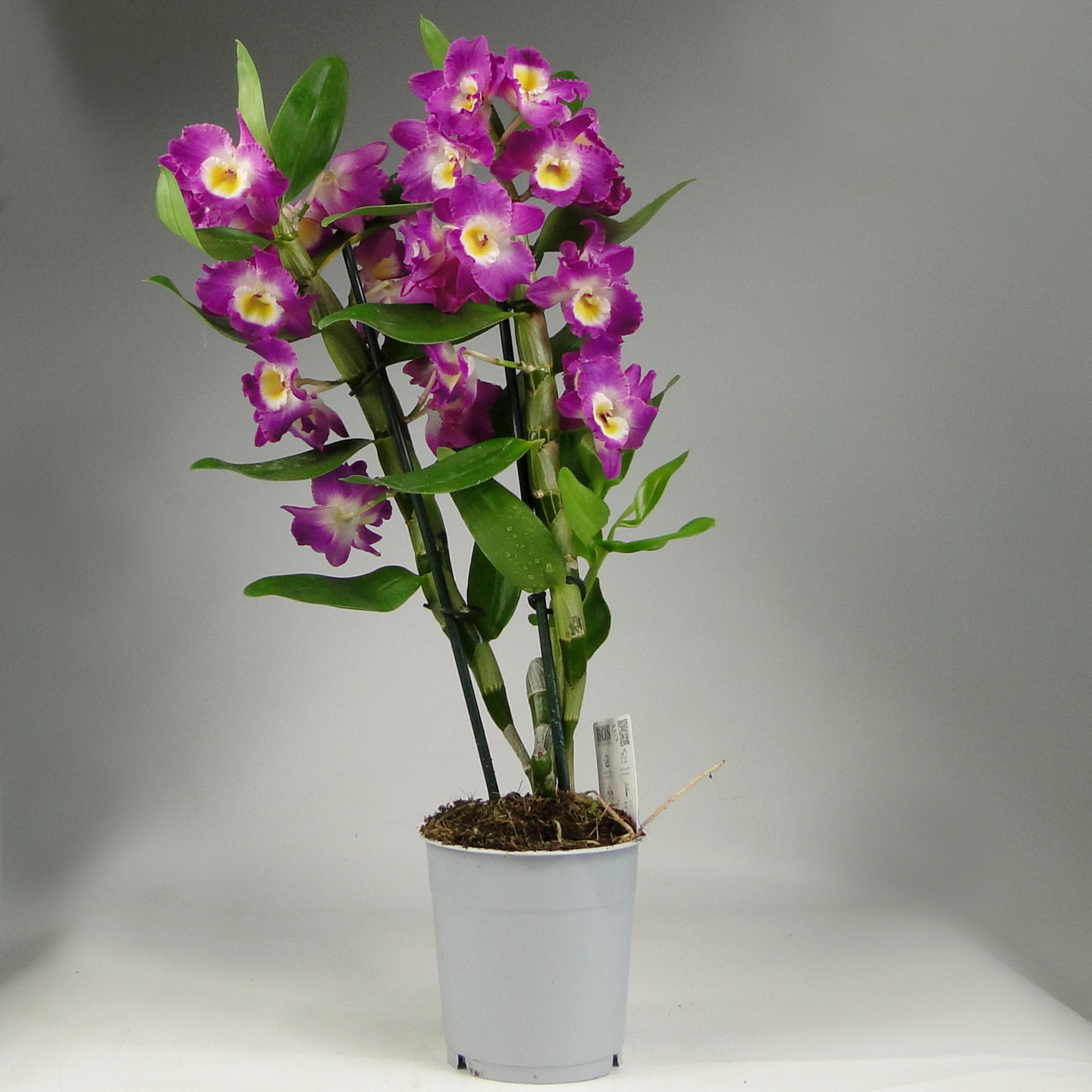 Орхидея дендробиум нобиле Акатзуки 2ст