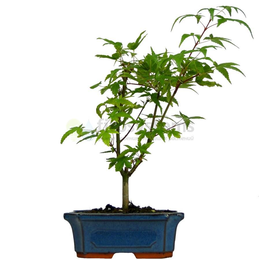 Бонсай клен Зеленый 35 см