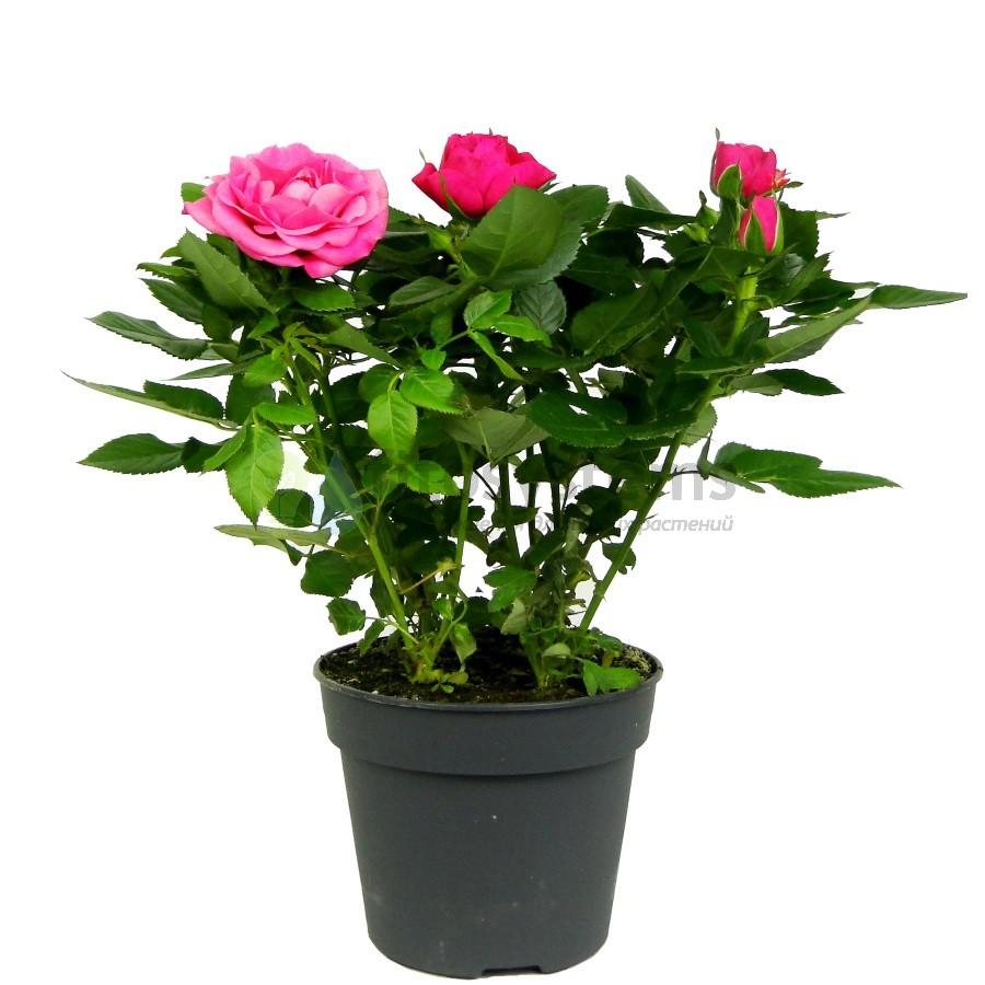 Роза Патио Темно-Розовая
