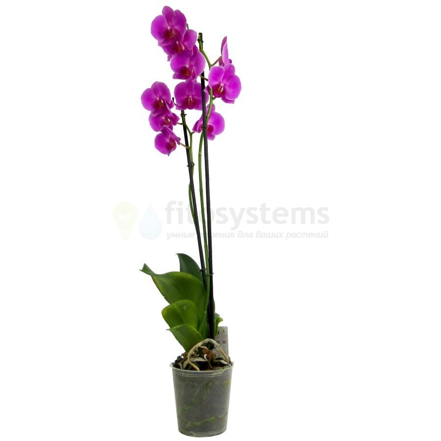 Орхидея фаленопсис сиреневая 2 ст