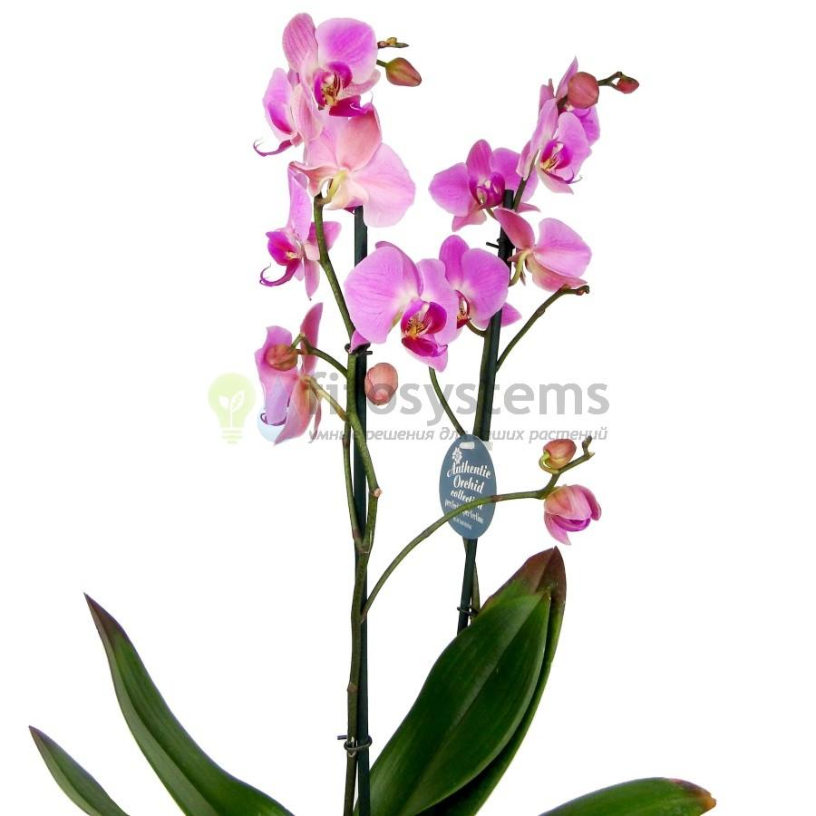 Орхидея фаленопсис Happy Valentina 2 ст