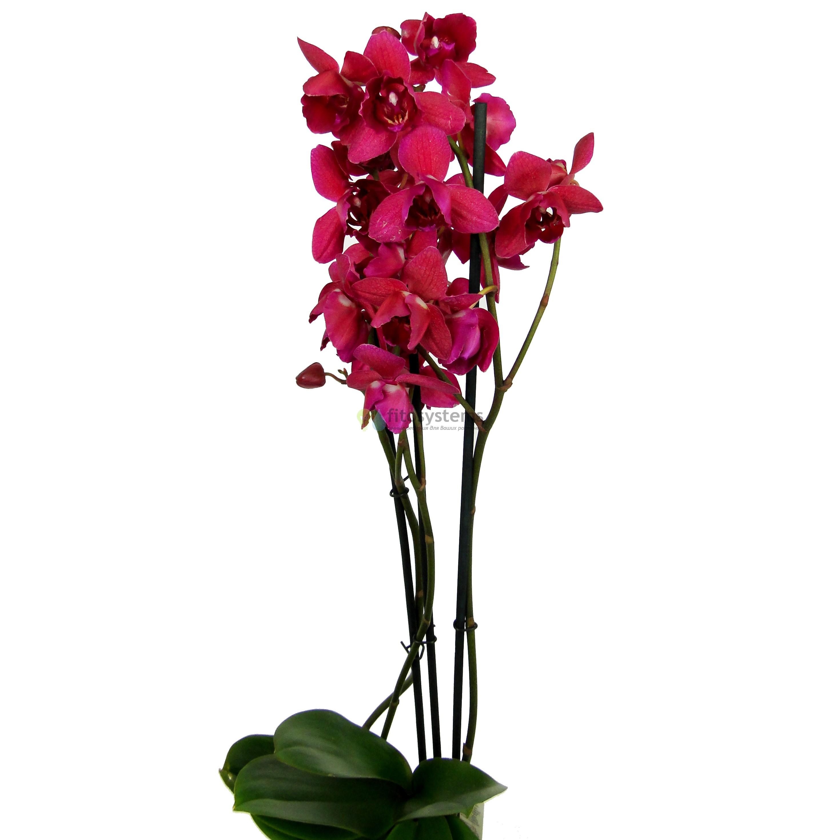 Орхидея фаленопсис Louisana (пелорик)