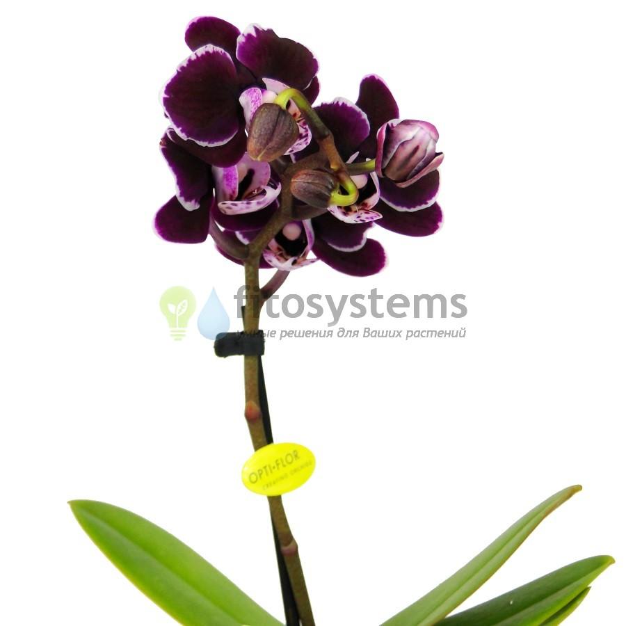 Орхидея фаленопсис мини Chocolate Drop