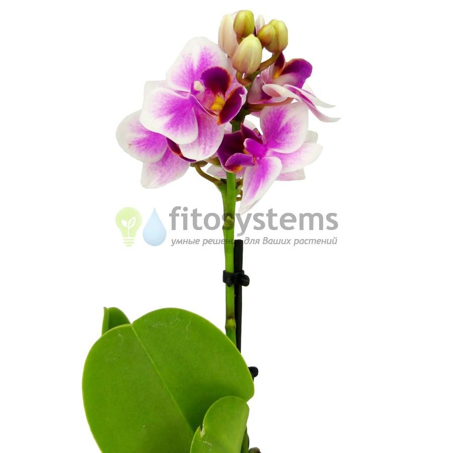 Орхидея фаленопсис мини Sogo Tris