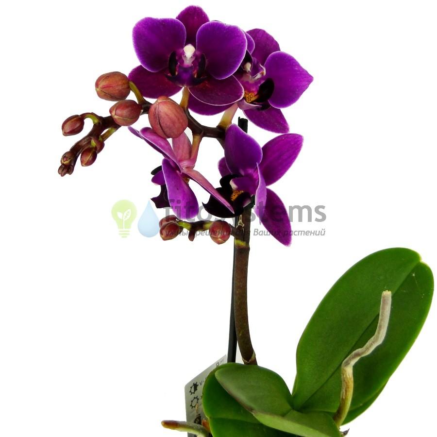 Орхидея фаленопсис мини Sogo Yenlin