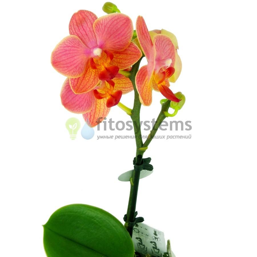Орхидея фаленопсис мини Desert Dream