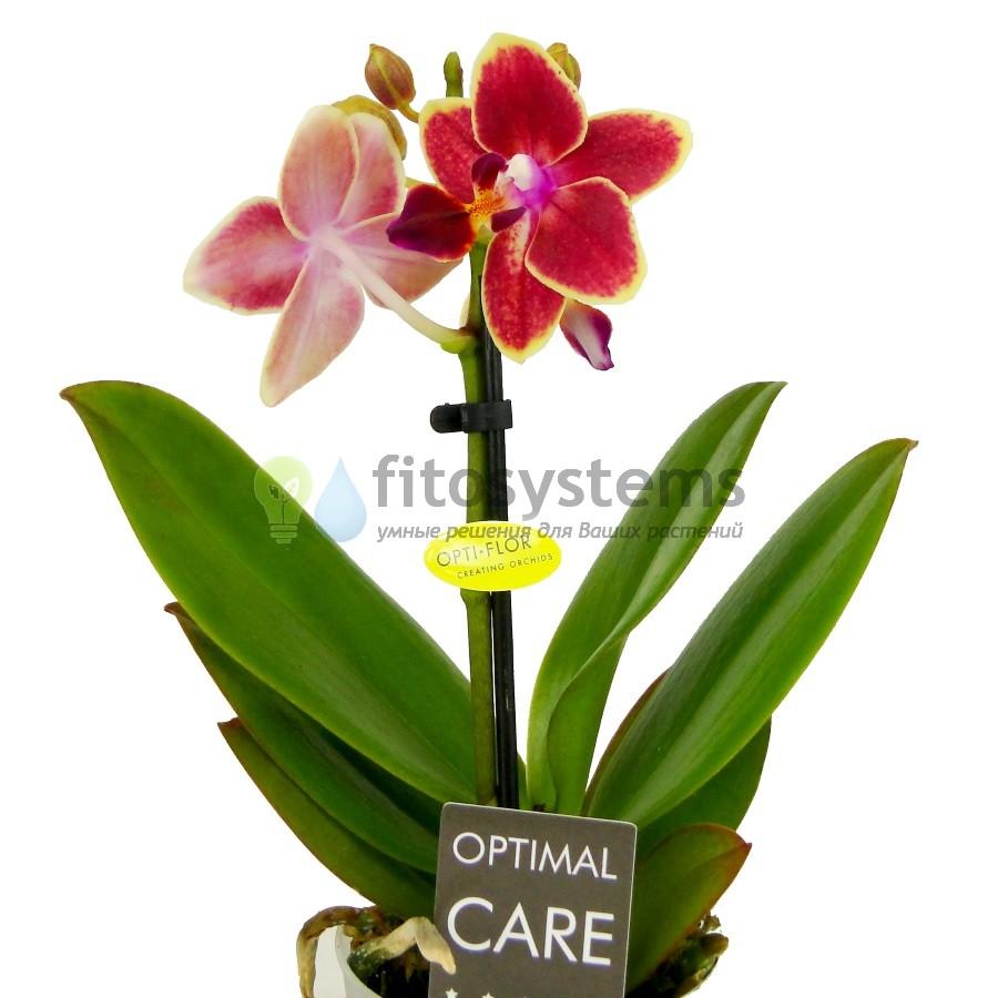 Орхидея Фаленопсис мини Sogo Allen