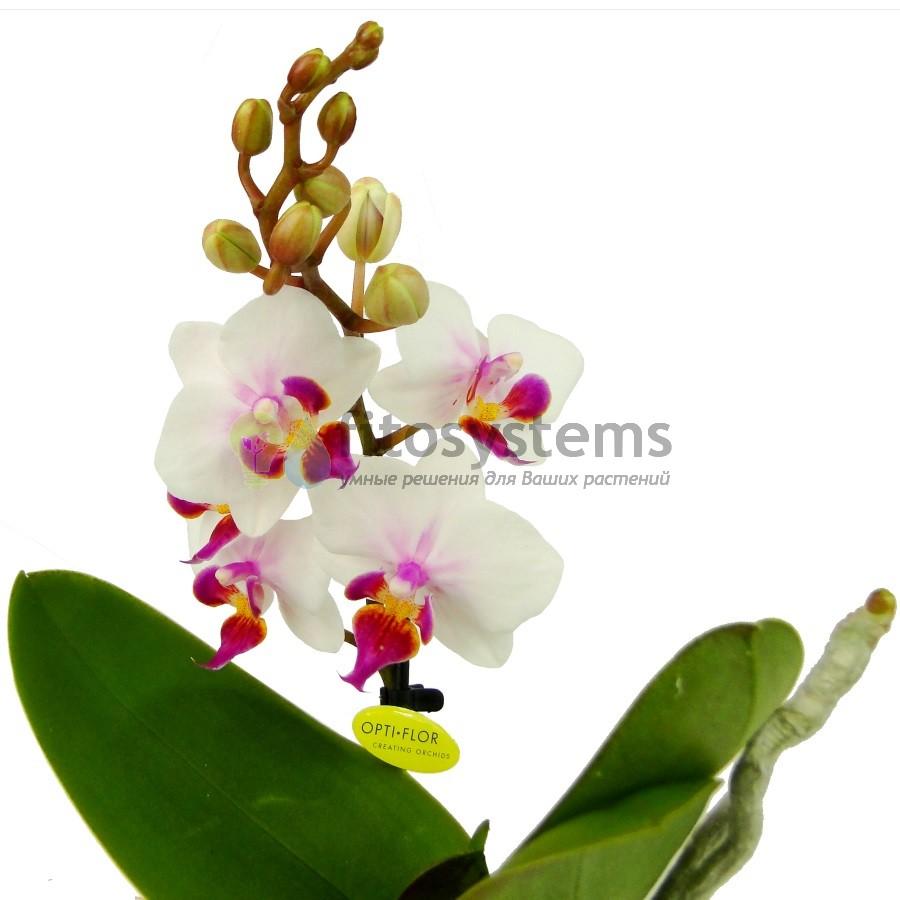 Орхидея фаленопсис мини Bro Pico Sweet