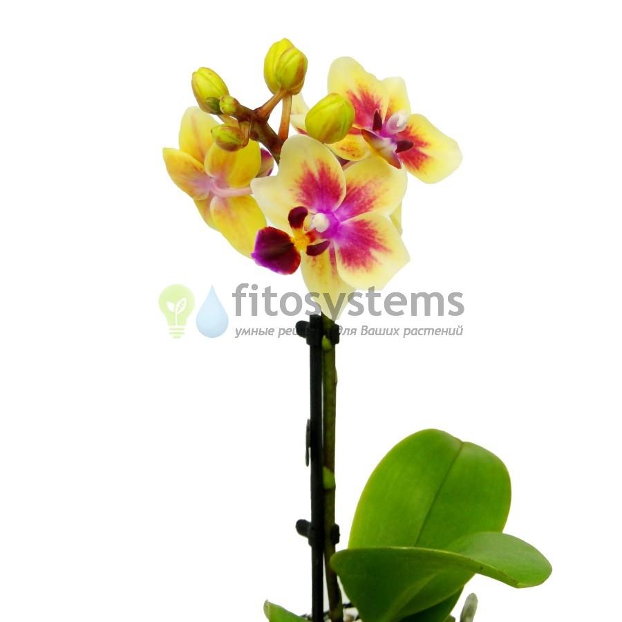 Орхидея фаленопсис мини Sogo Gotris