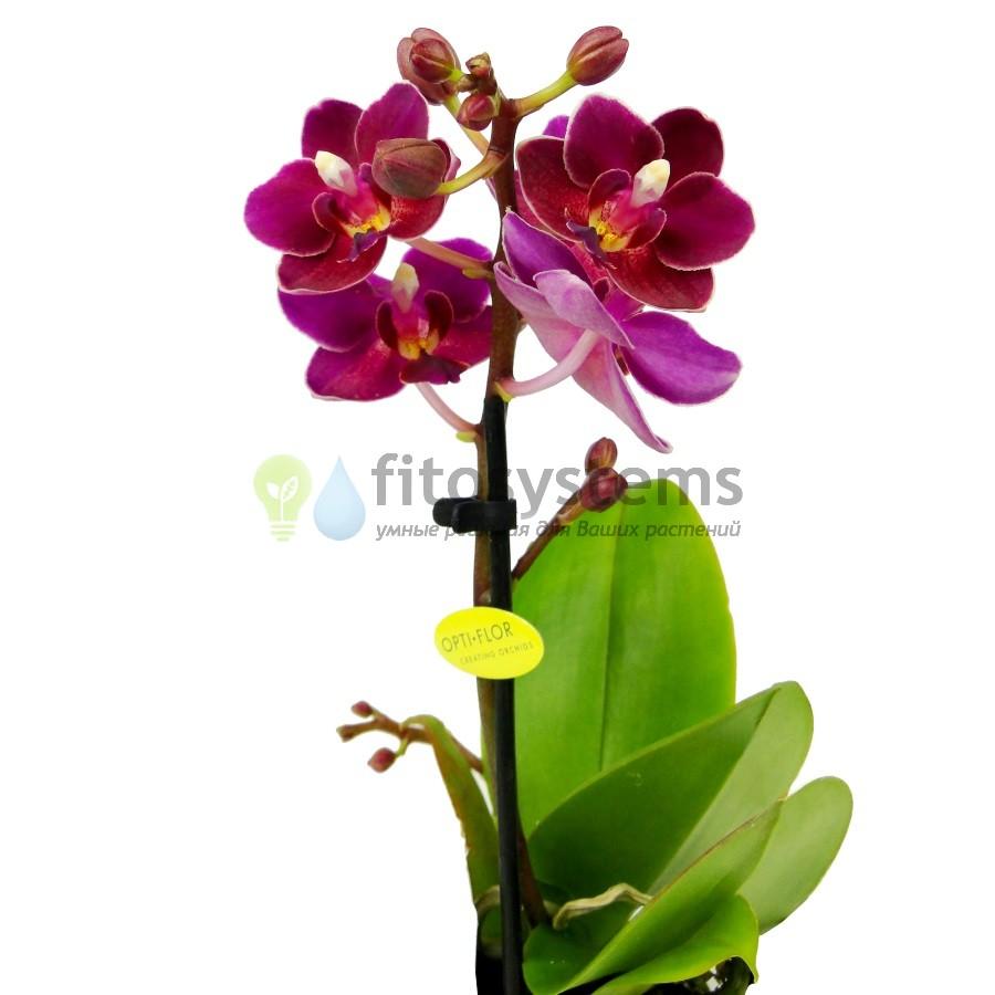 Орхидея фаленопсис мини Fire Fly