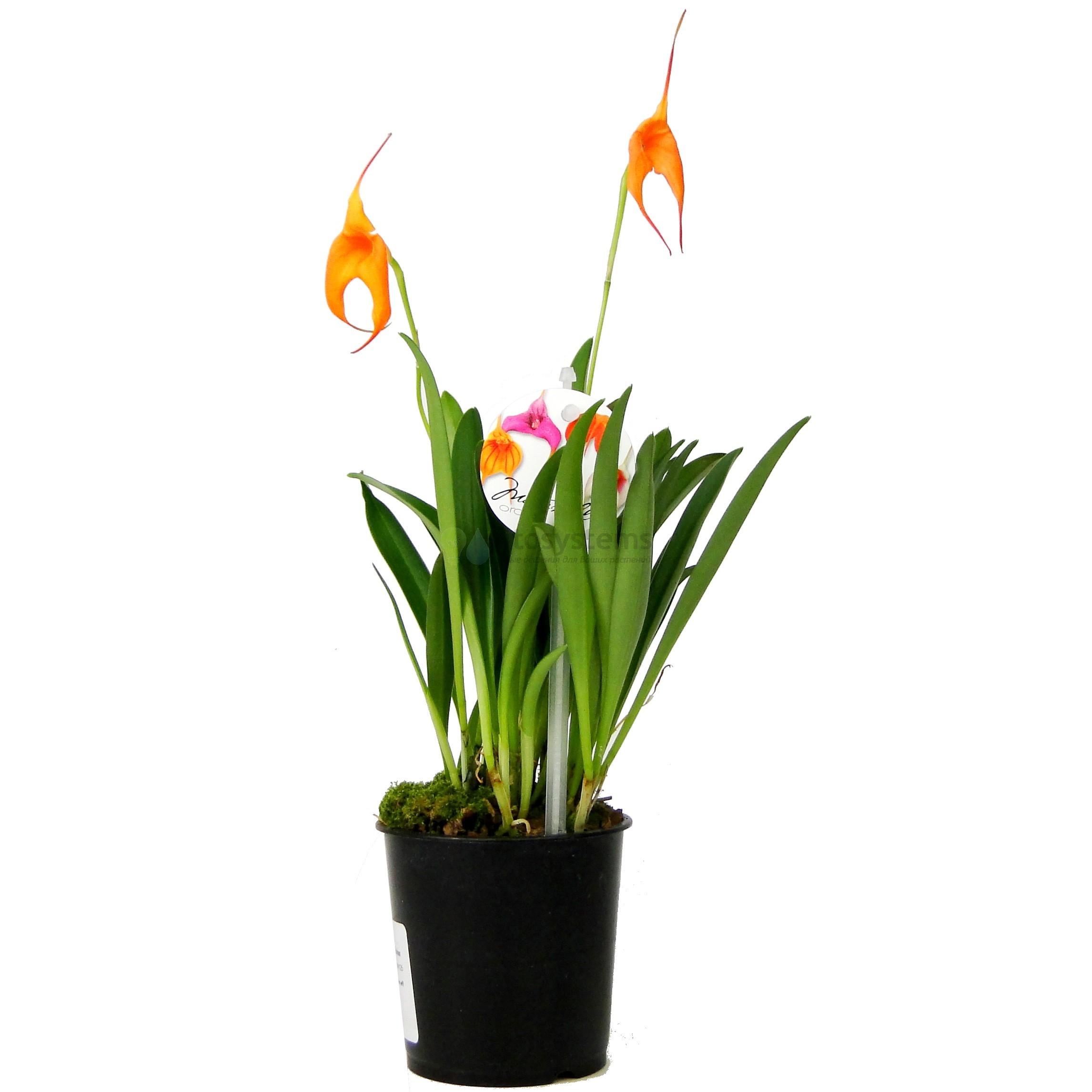 Орхидея масдеваллия в ассортименте