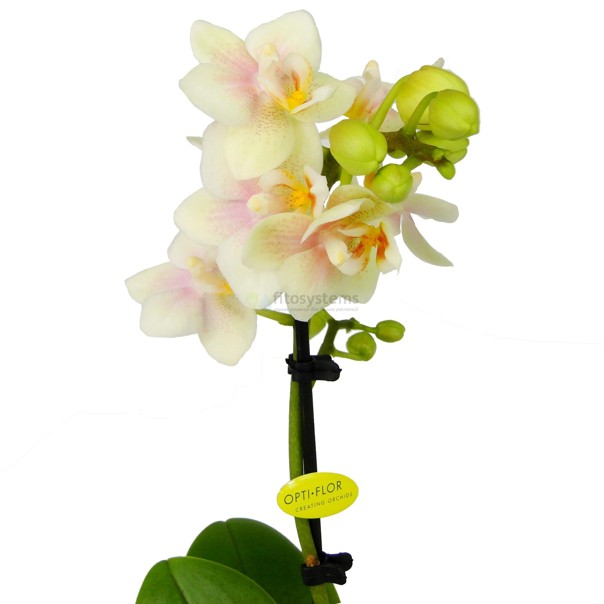 Орхидея фаленопсис мини Sogo Bianca