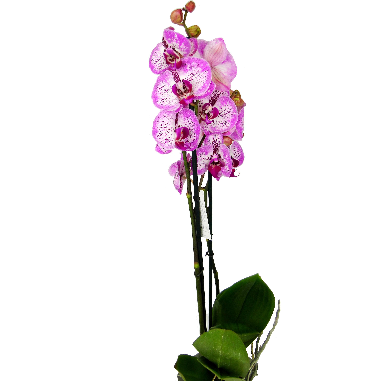 Орхидея фаленопсис Melody 2 ст
