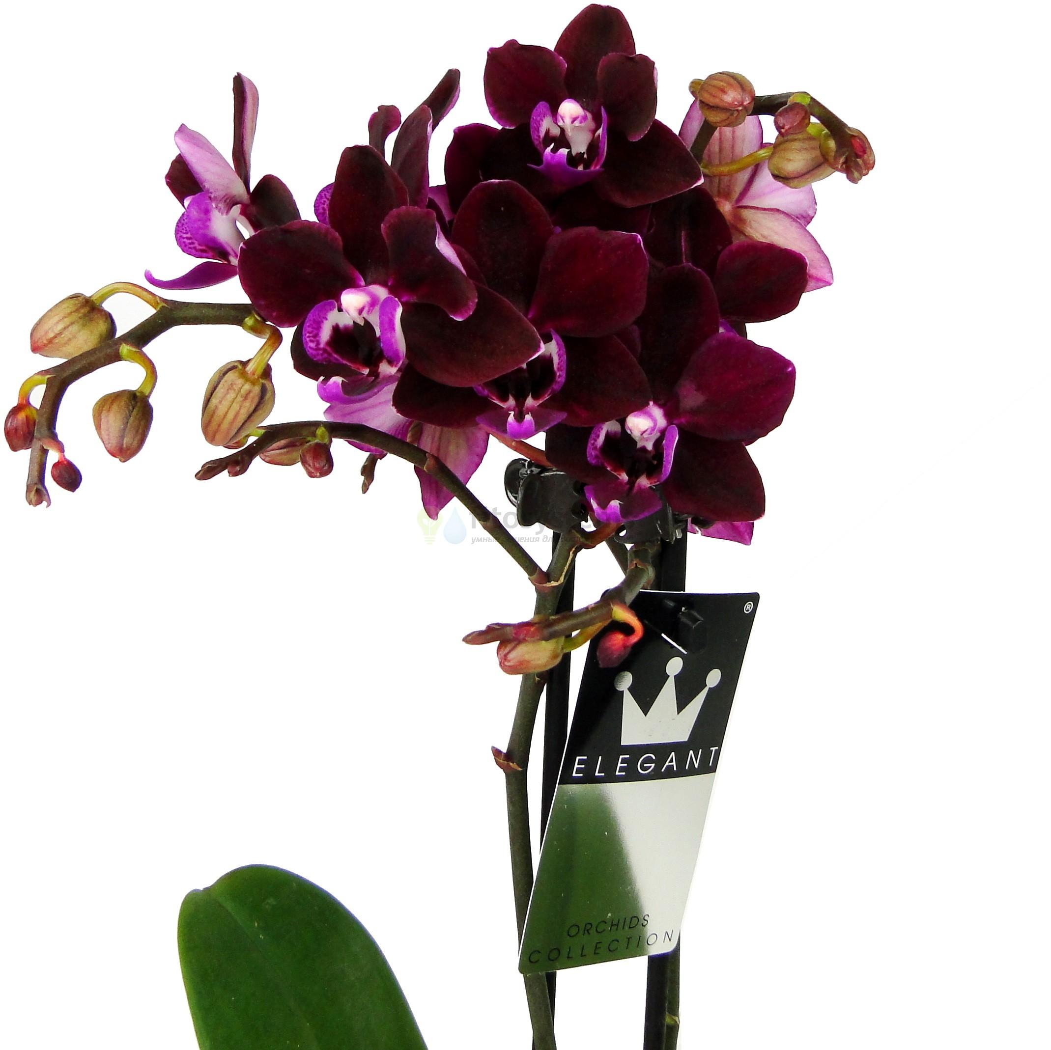 Чёрная орхидея Хеппи Энджел