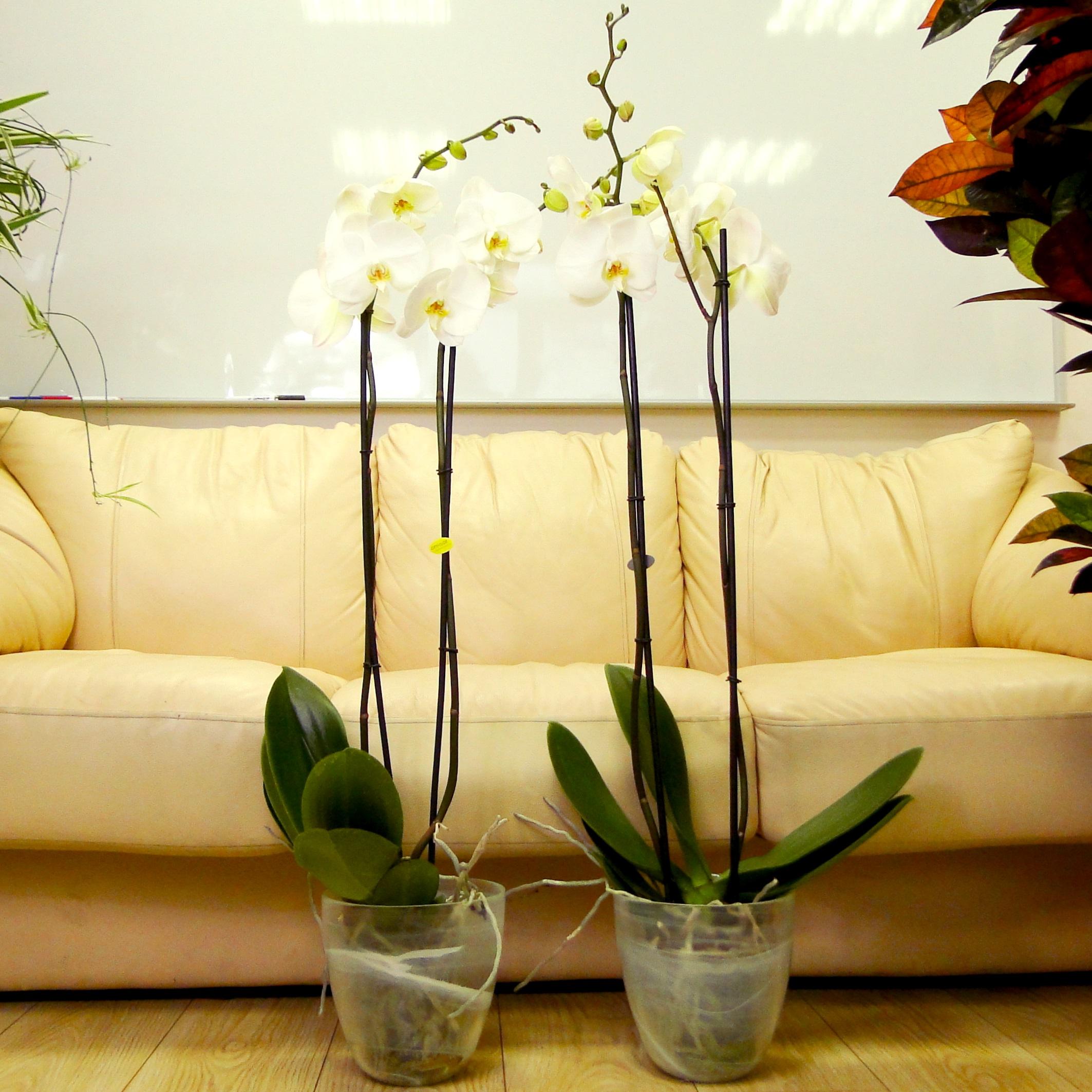 Орхидея фаленопсис белая в стекле